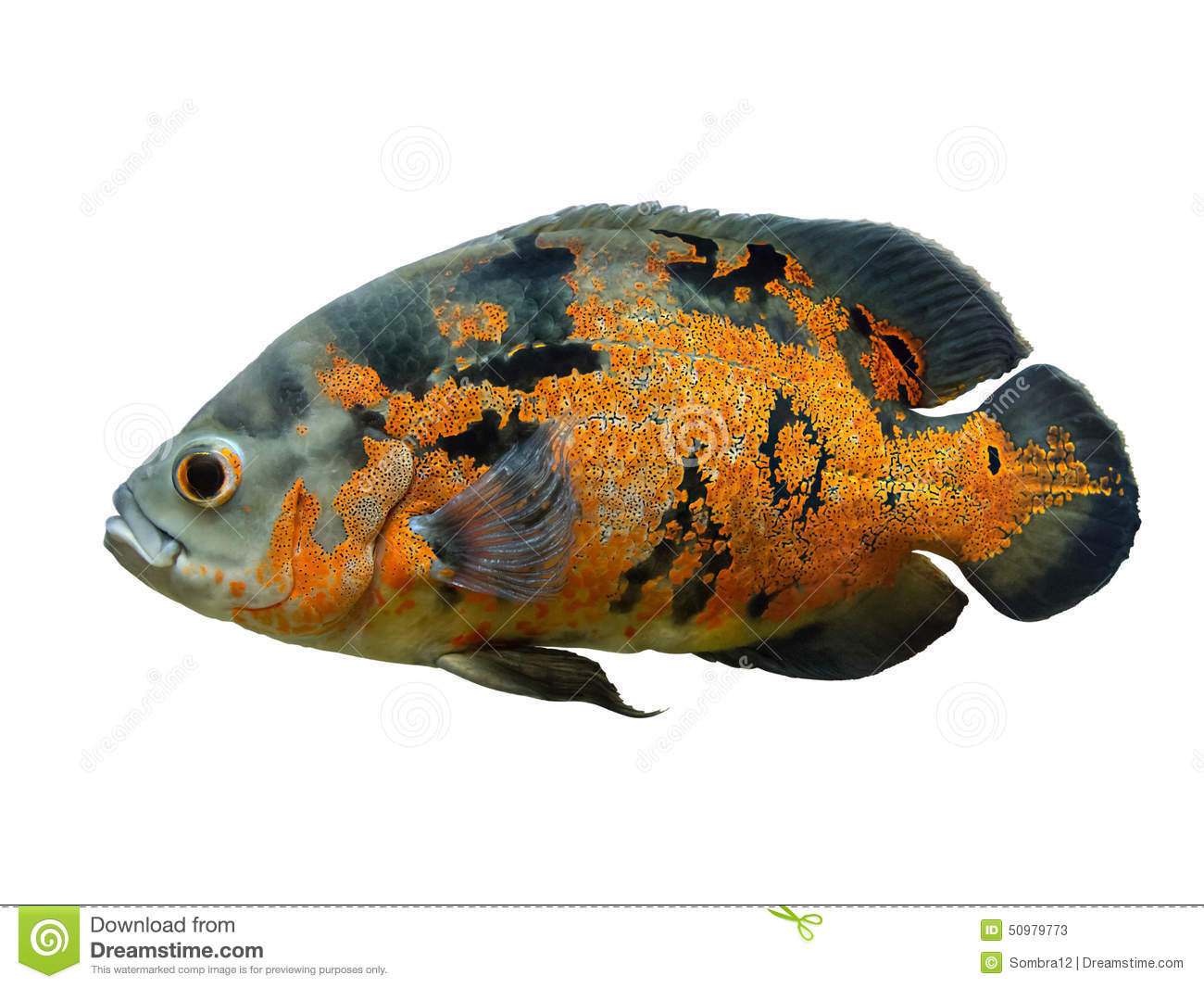White tiger under water pictures as well Ewrazphoto Diet Pepsi And Rum in addition Maingano further Dempsy also Mandarin Fish. on oscar cichlid facts