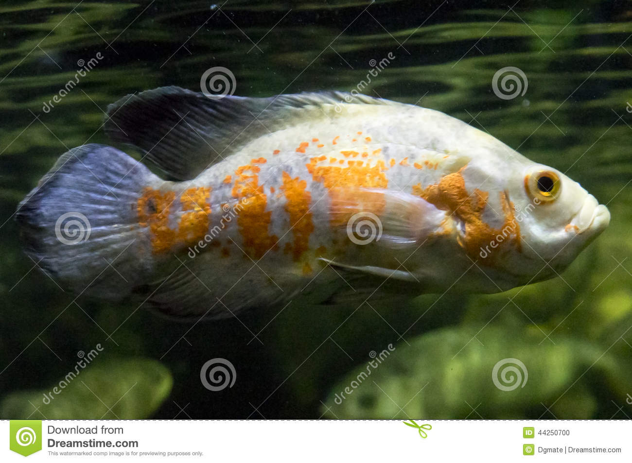 Oscar fish stock photo image 44250700 for Fish and pets unlimited