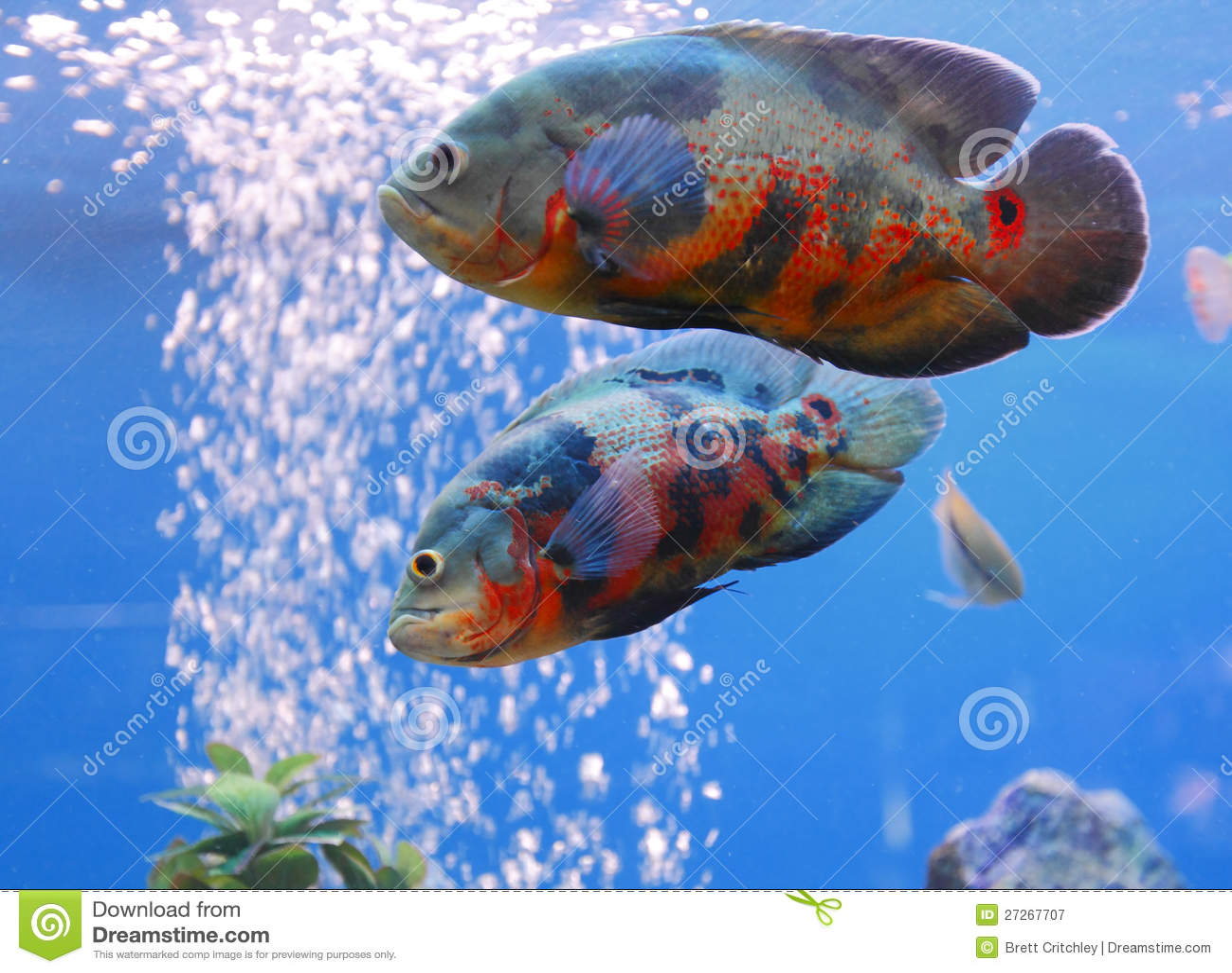 how to feed oscar fish