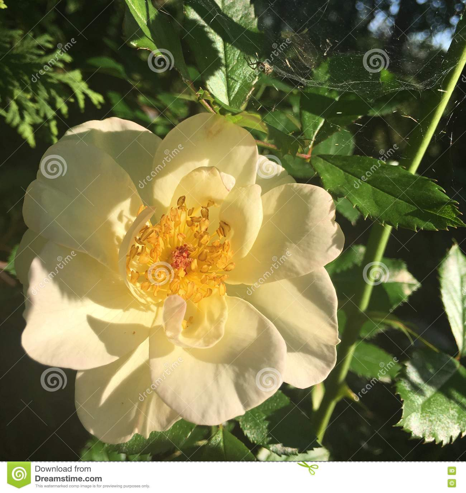 Oscar Peterson rose in sunlight