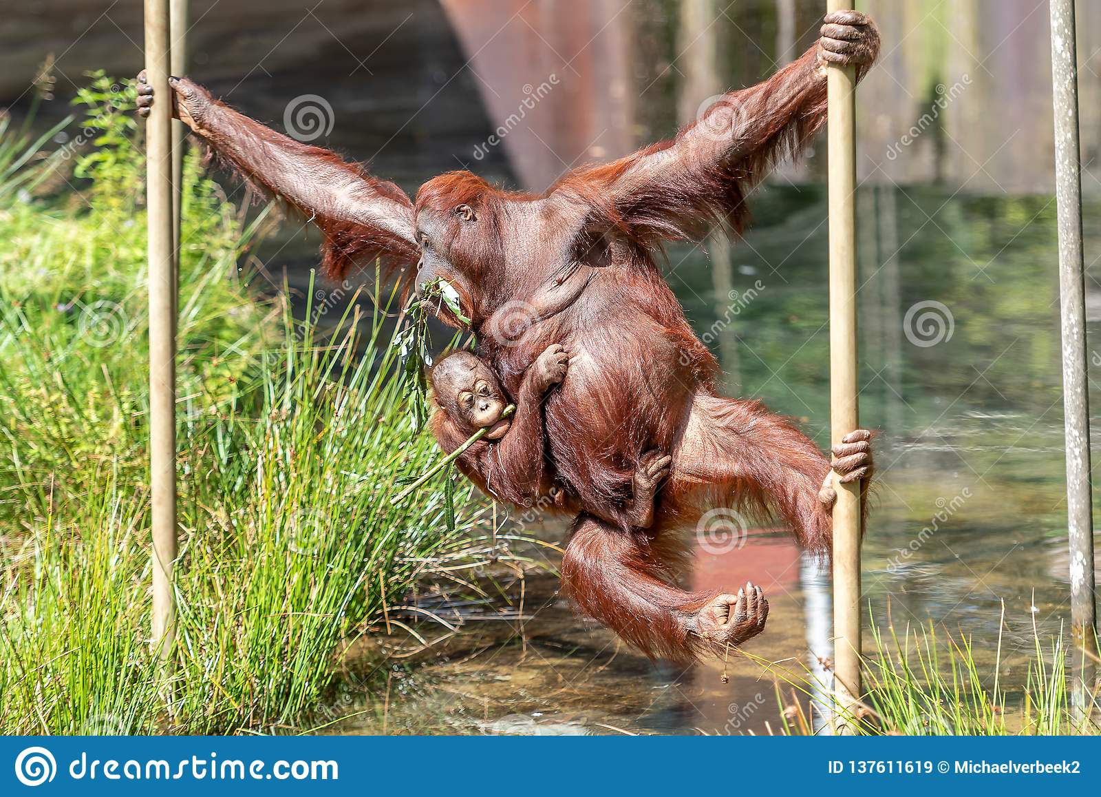 Oscillazione dell orangutan del bambino e della madre all altro lato