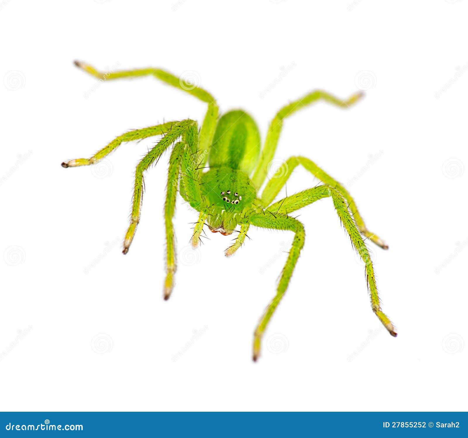 Osiem przyglądający się, nad biel Huntsman zielony pająk