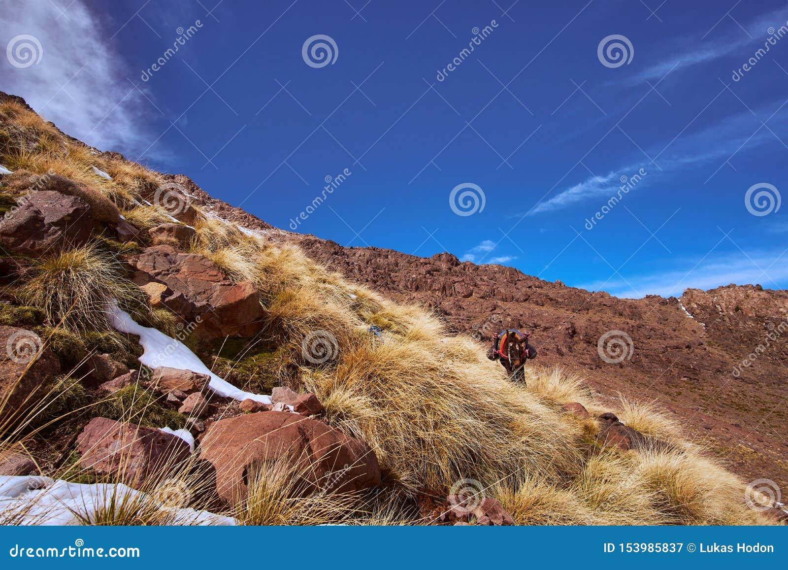 Osioł ma odpoczynek na turystycznej ścieżce Jebel Toubkal