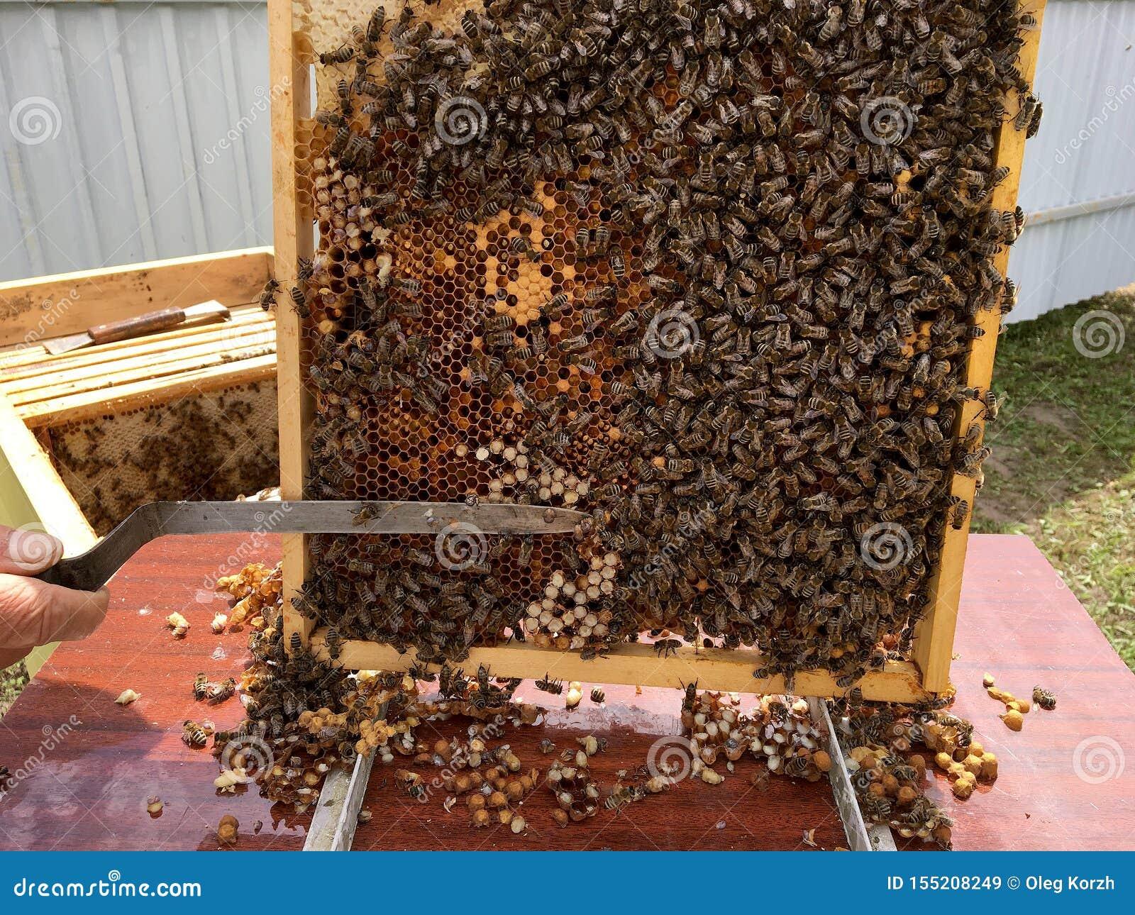Oskrzydlona pszczoła wolno lata pszczelarka zbiera nektar