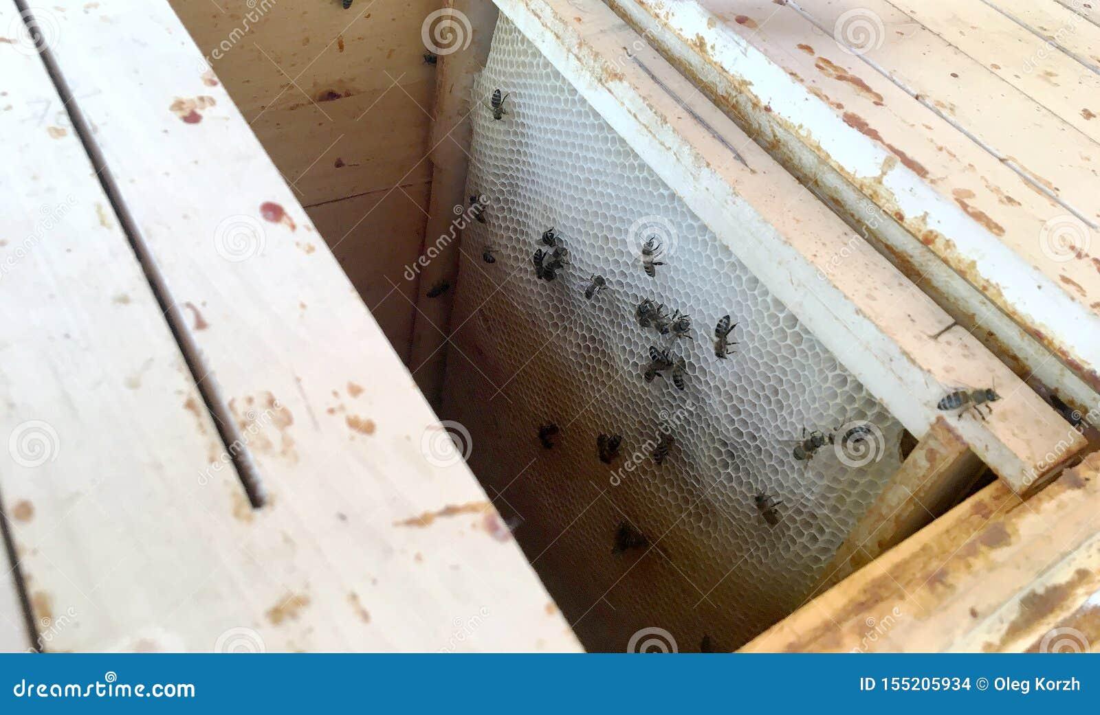 Oskrzydlona pszczoła wolno lata ul zbiera nektar na intymnej pasiece