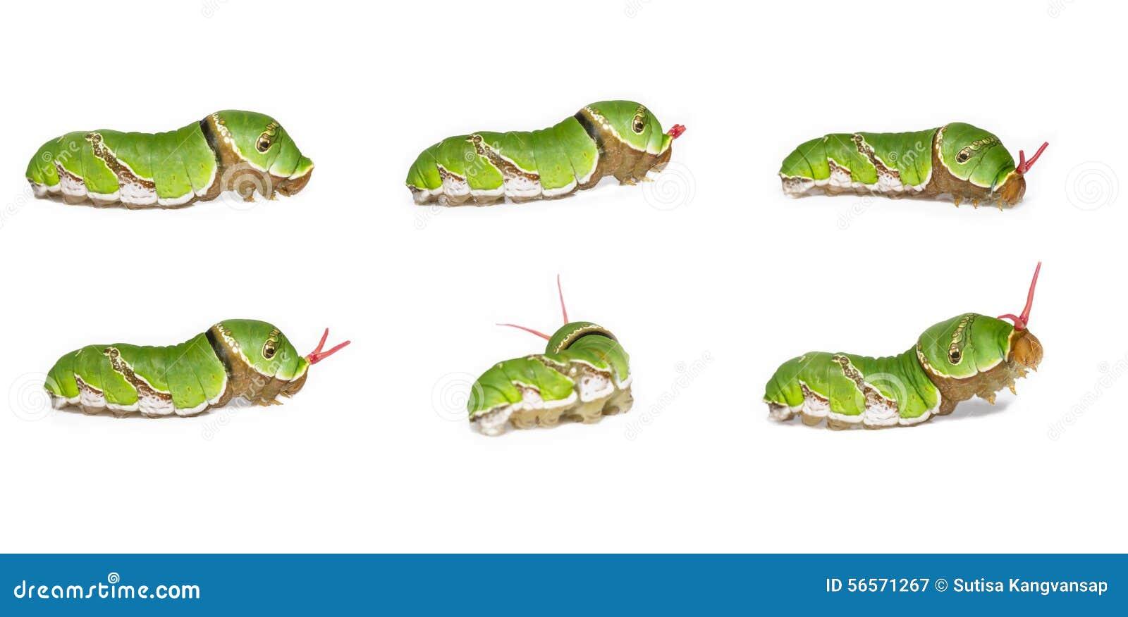 Download Osmeterium της κοινής των Μορμόνων κάμπιας (Papilio Polyte Στοκ Εικόνα - εικόνα από κάμπια, προνύμφες: 56571267