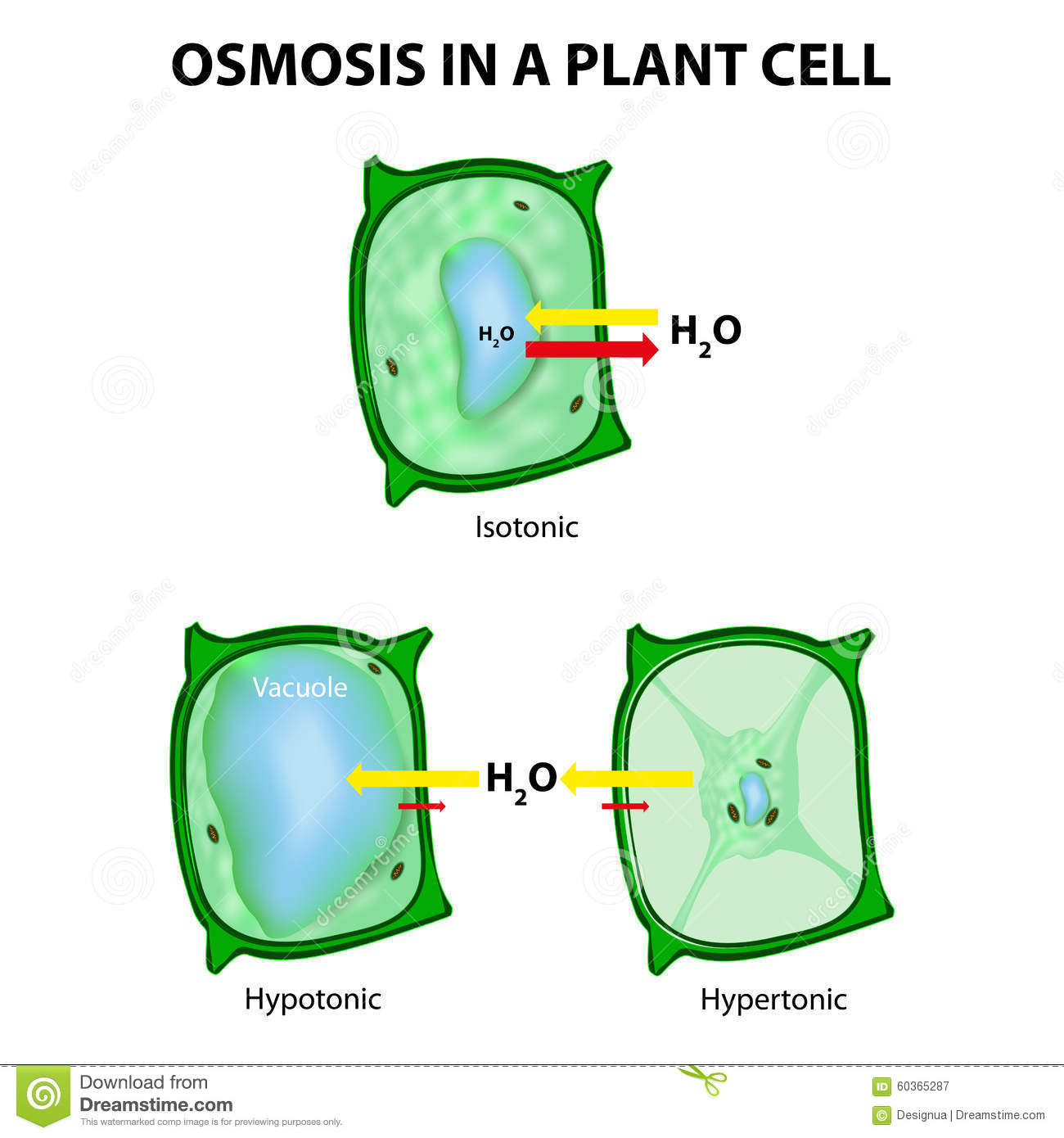 Osmosis in a Plant Cell stock vector Image of hypotonic