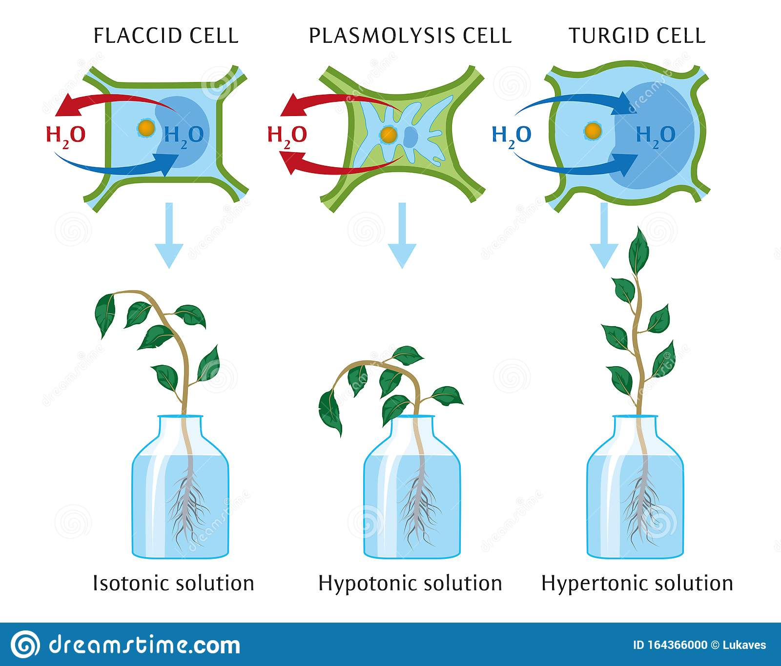 Biology Unit 5.1: Transport In Plants / Look Good & Study Hard |Osmosis In Plant Roots
