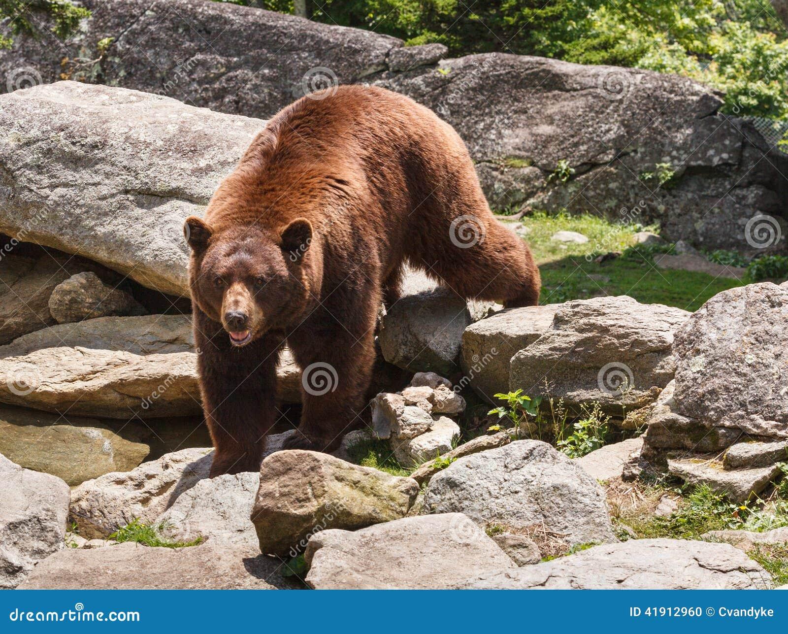 Oso de Brown del canela Carolina Blue Ridge Mountains del norte