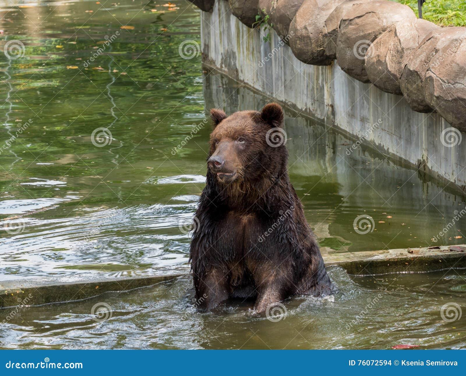 Oso de Brown en agua foto de archivo. Imagen de outdoor - 76072594