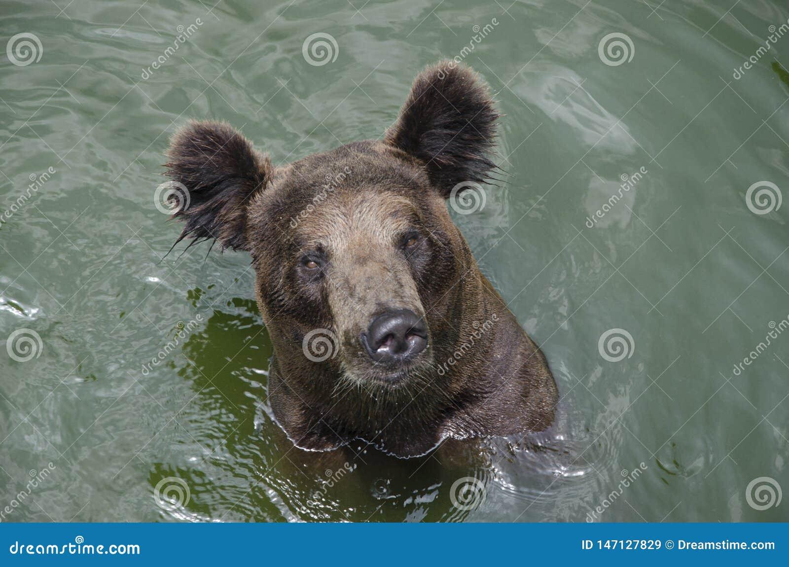 Oso de Brown en agua