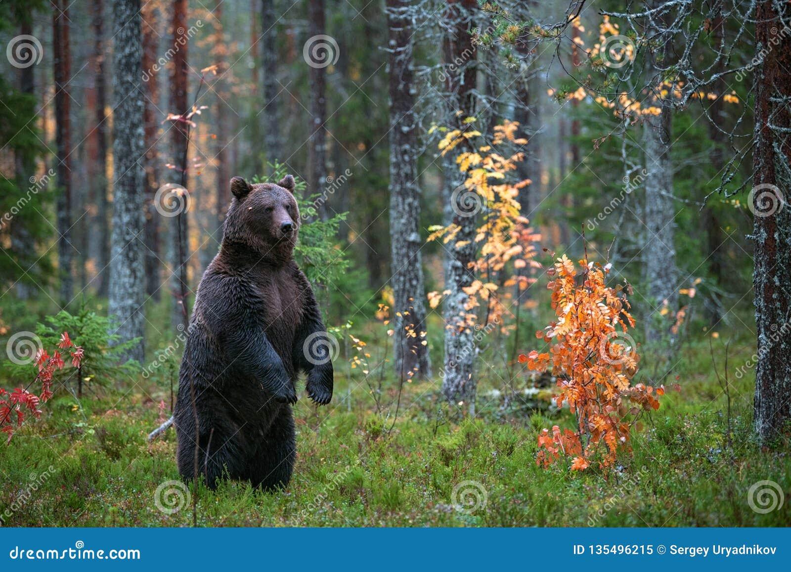 Oso de Brown que se coloca en sus piernas traseras en el bosque del otoño