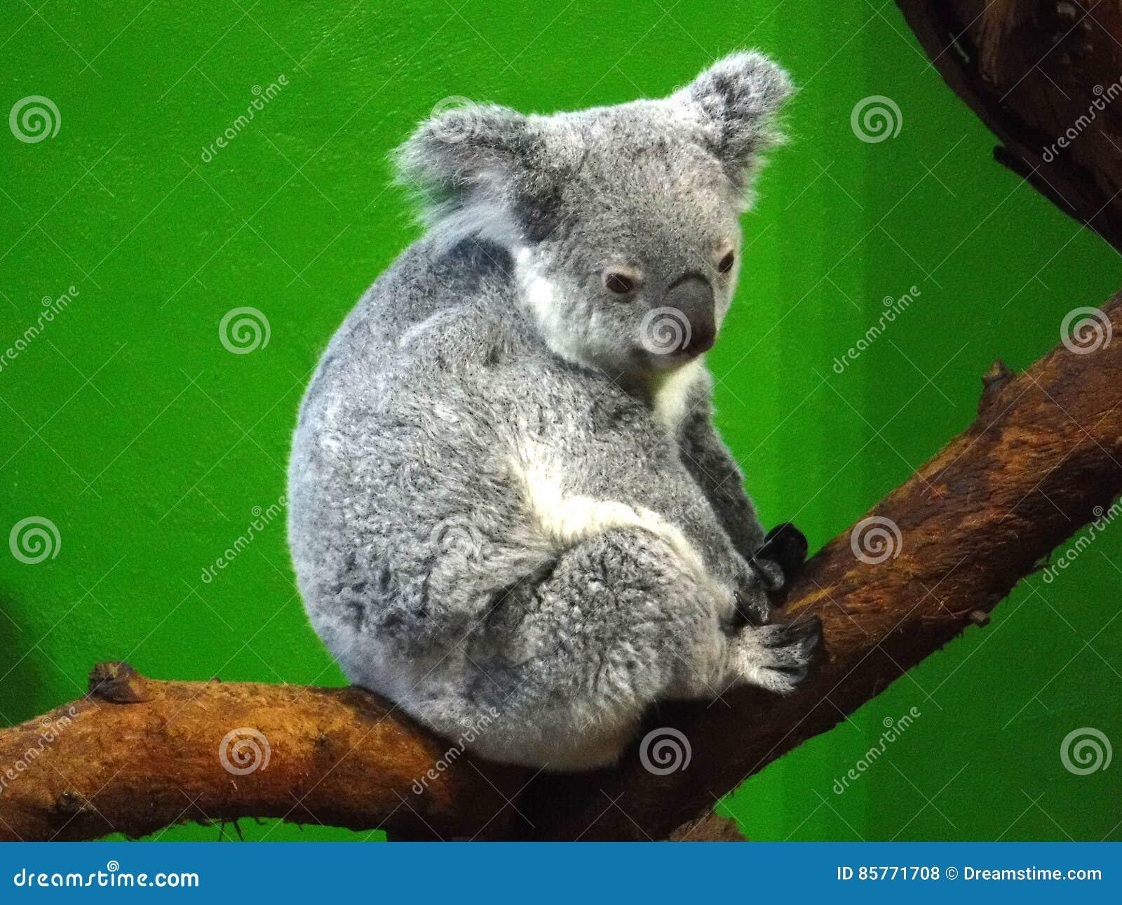 Oso de koala en parque zoológico