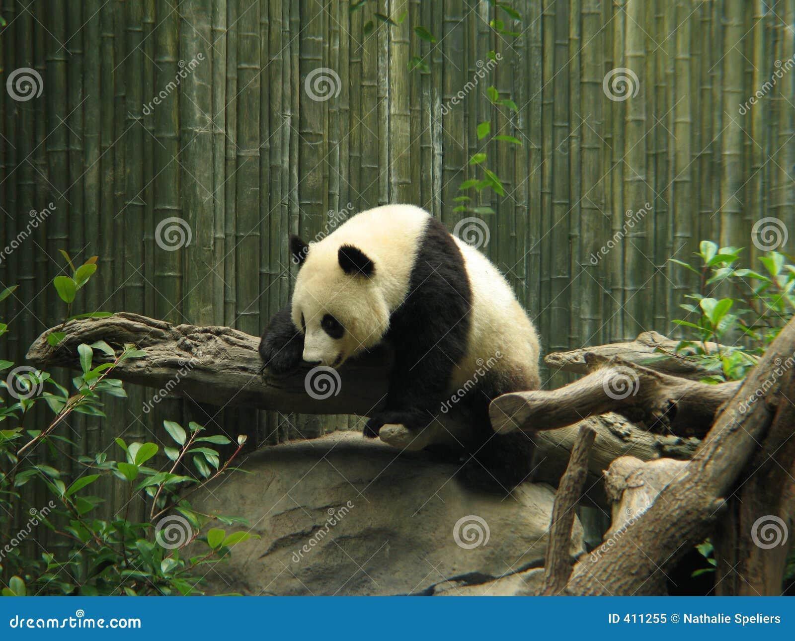 Oso de la panda