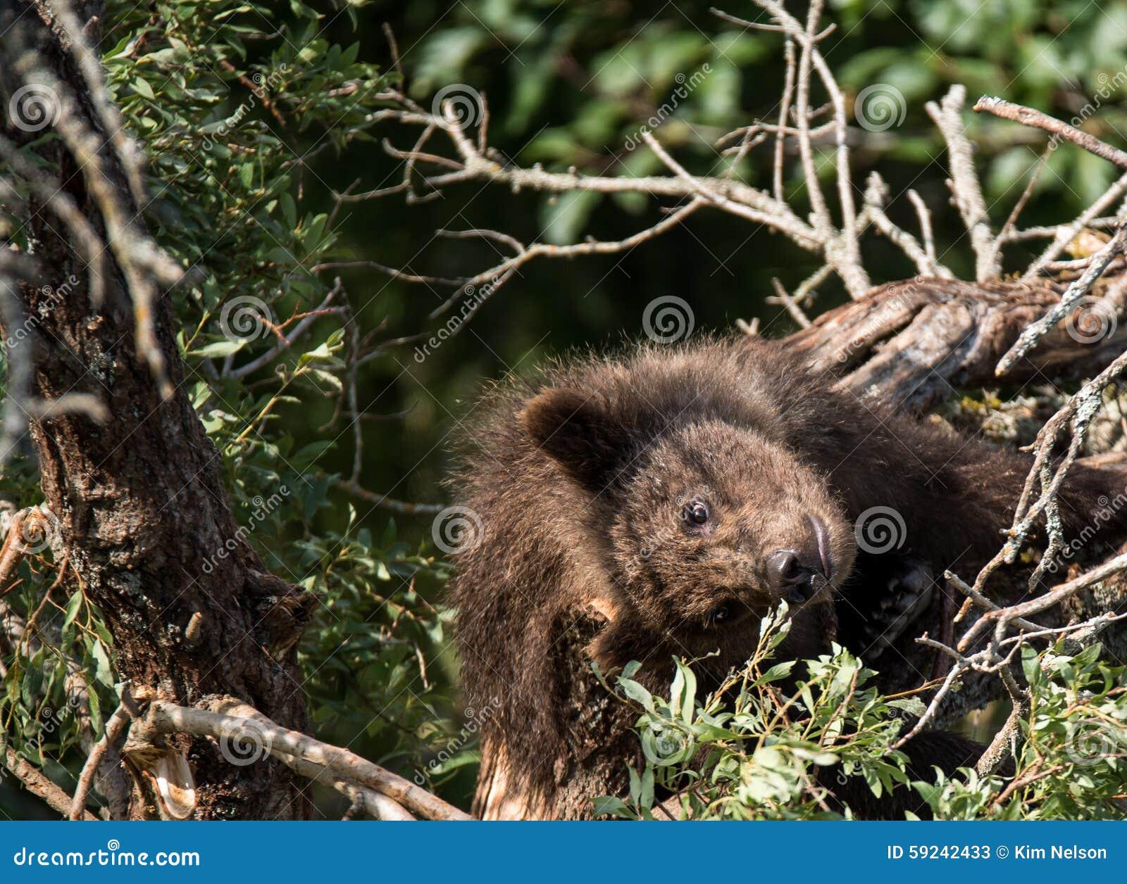 Download Oso del bebé en un árbol imagen de archivo. Imagen de grizzly - 59242433