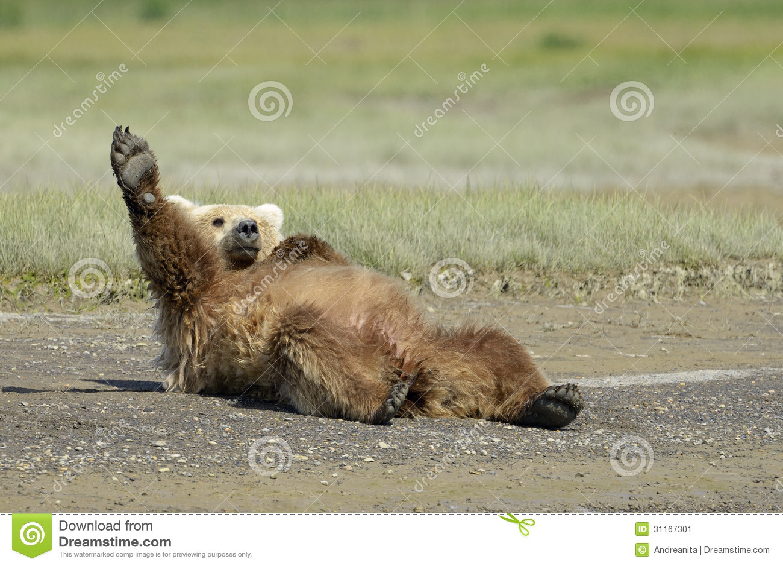 Oso Grizzly Imagen De Archivo Imagen De Full Chistoso 31167301