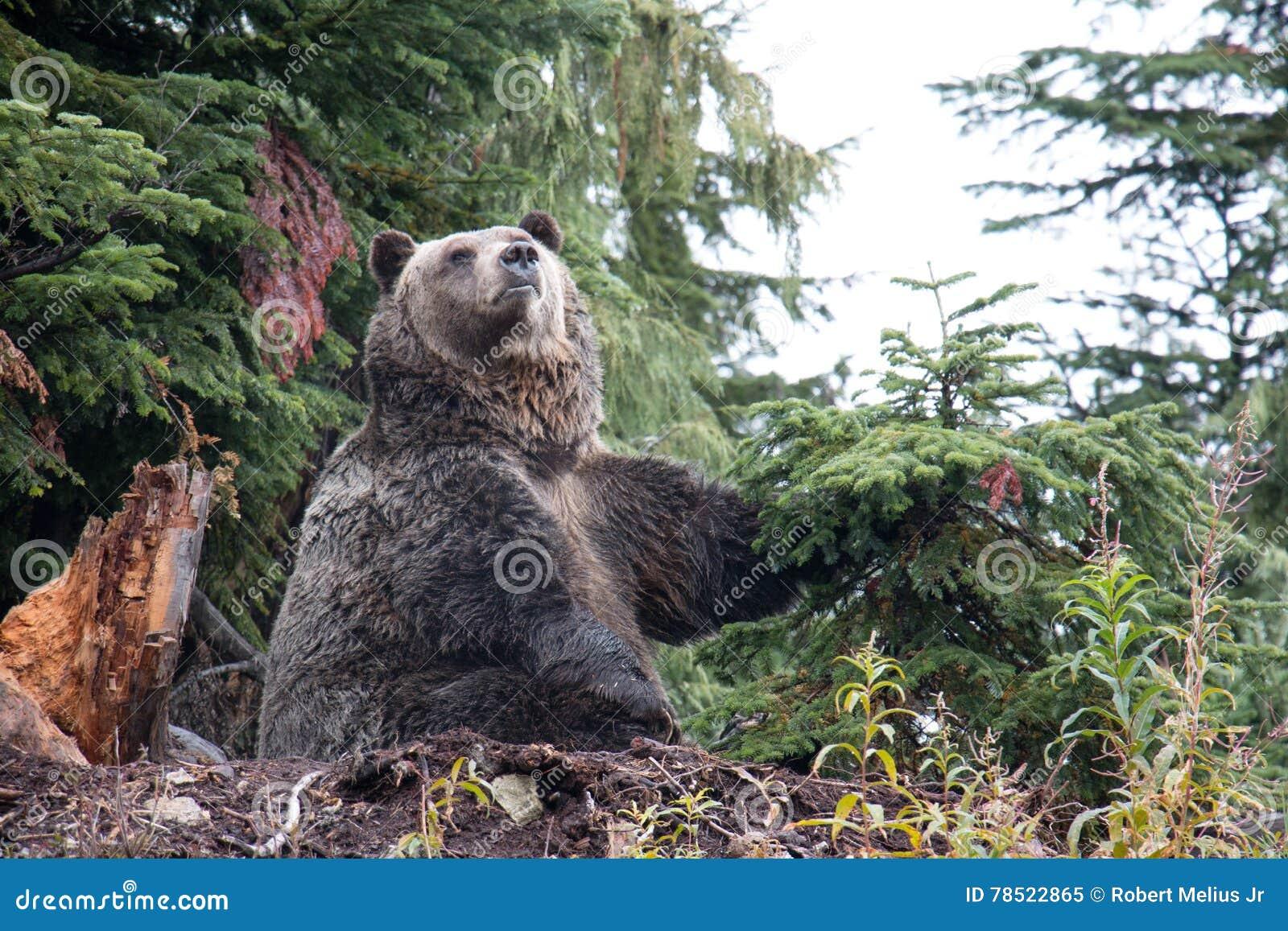 Oso grizzly que pega una actitud en la montaña del urogallo, Columbia Británica