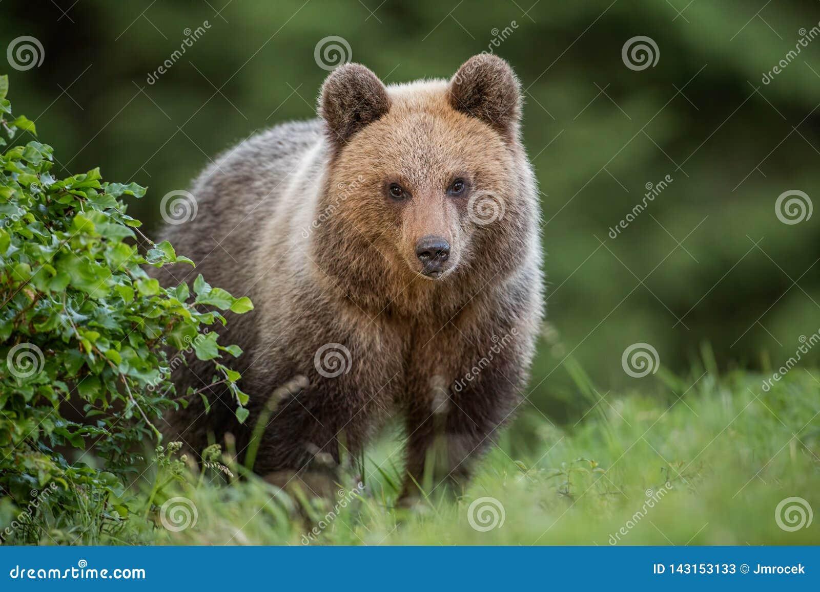 Oso marrón joven mullido, arctos del ursus, en verano