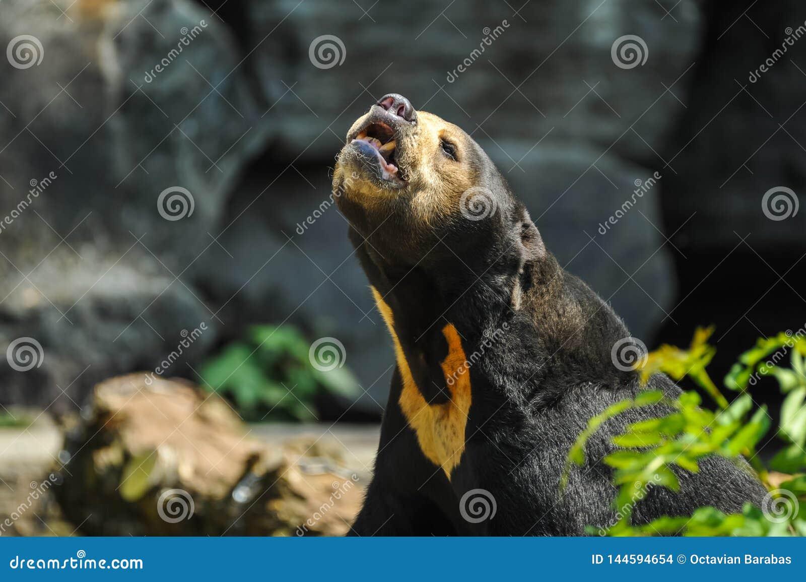 Oso negro con el punto marrón-anaranjado en pecho la llamada
