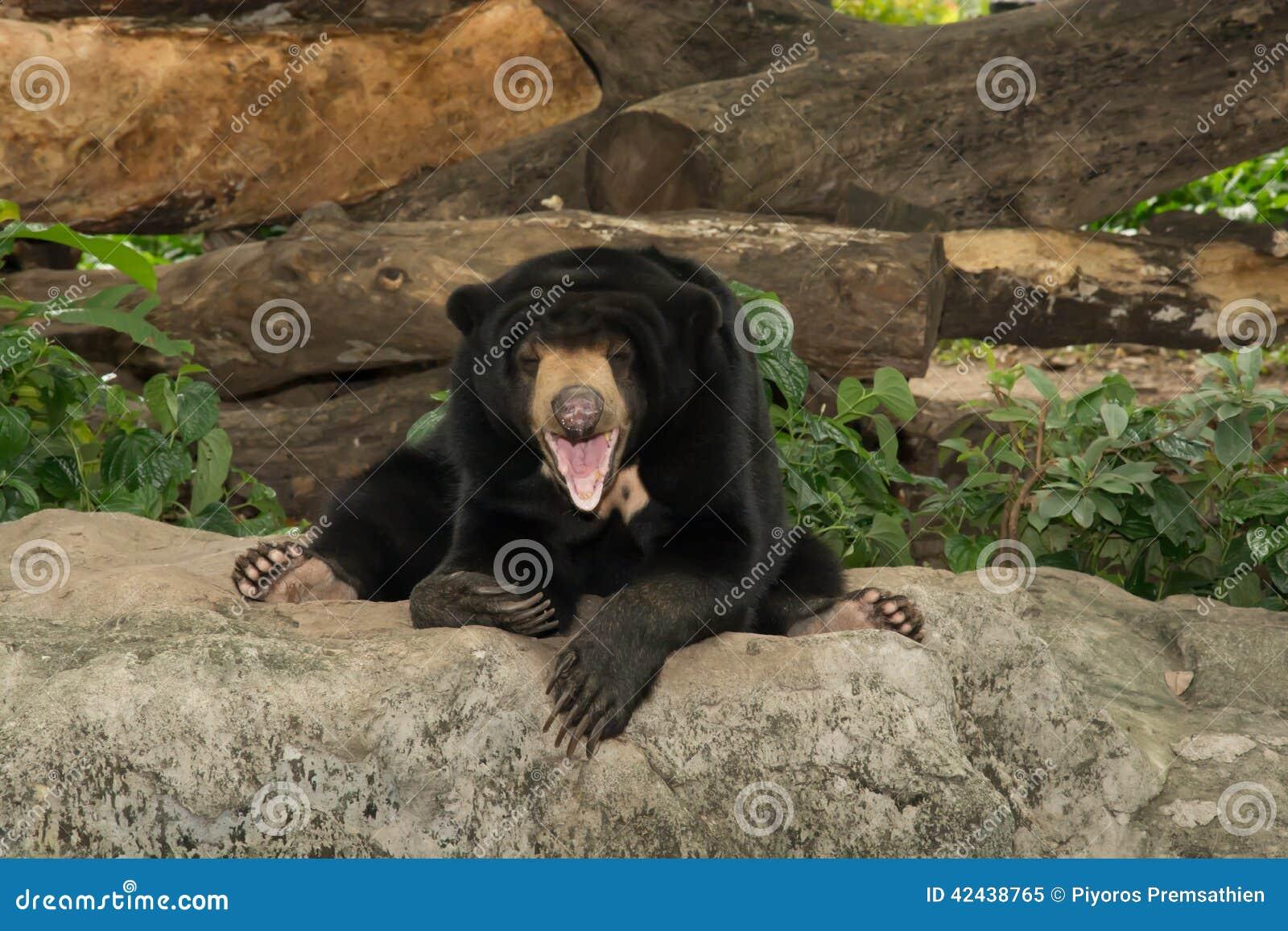 Oso negro de la sonrisa en parque zoológico