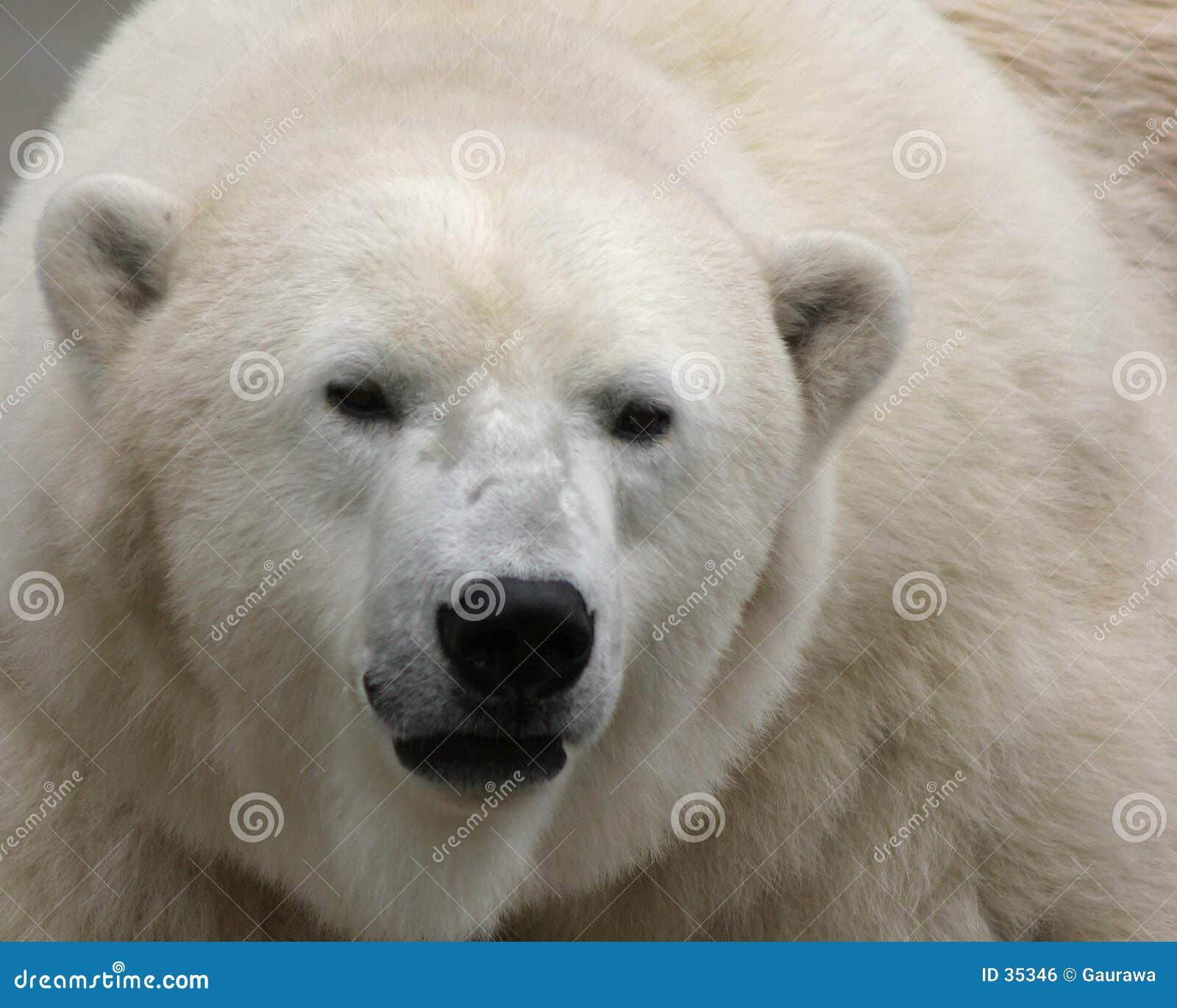 Download Oso polar foto de archivo. Imagen de animales, north, mamífero - 35346
