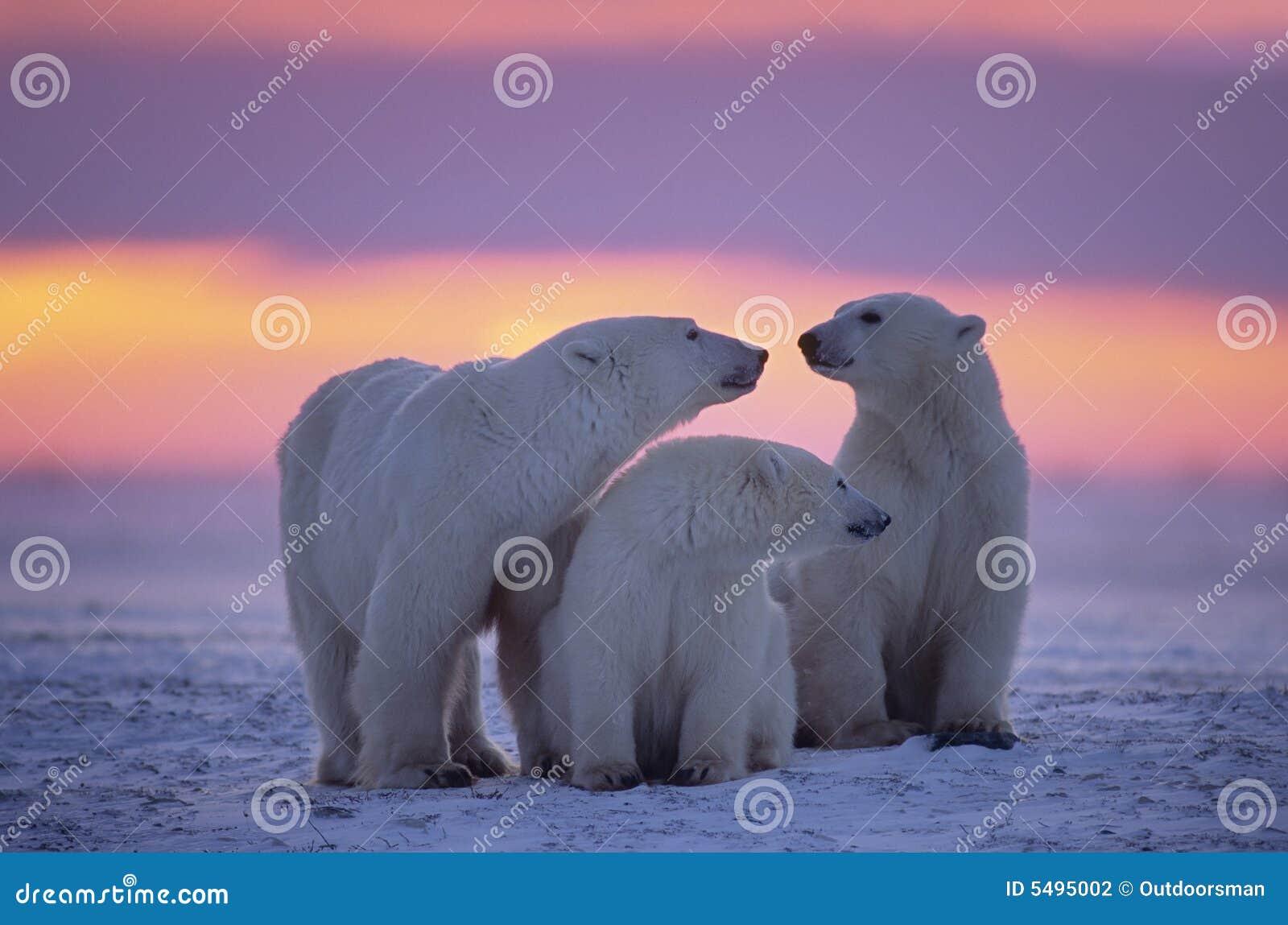 Oso polar con los cachorros de un año