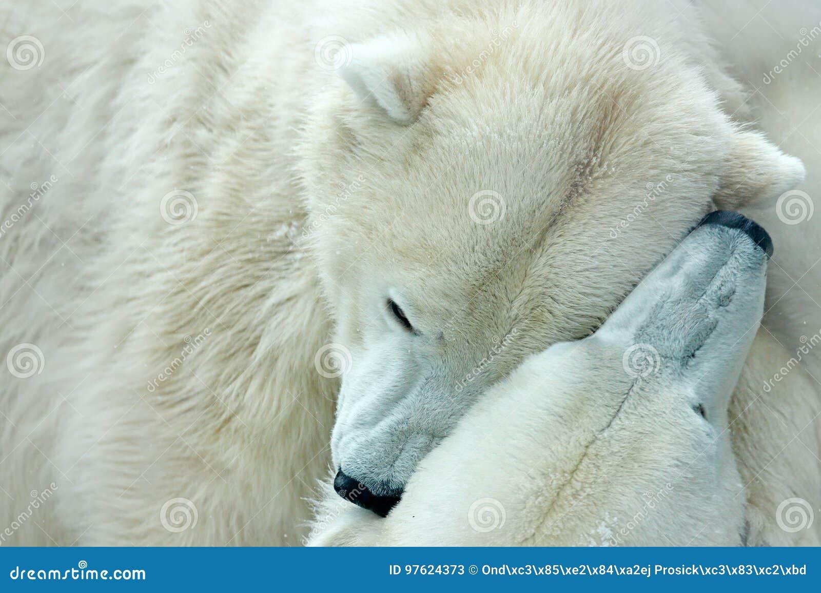 Oso polar dos que lucha en el hielo de deriva en Svalbard ártico Detalle de la lucha Animal peligroso grande del ártico Cabeza do