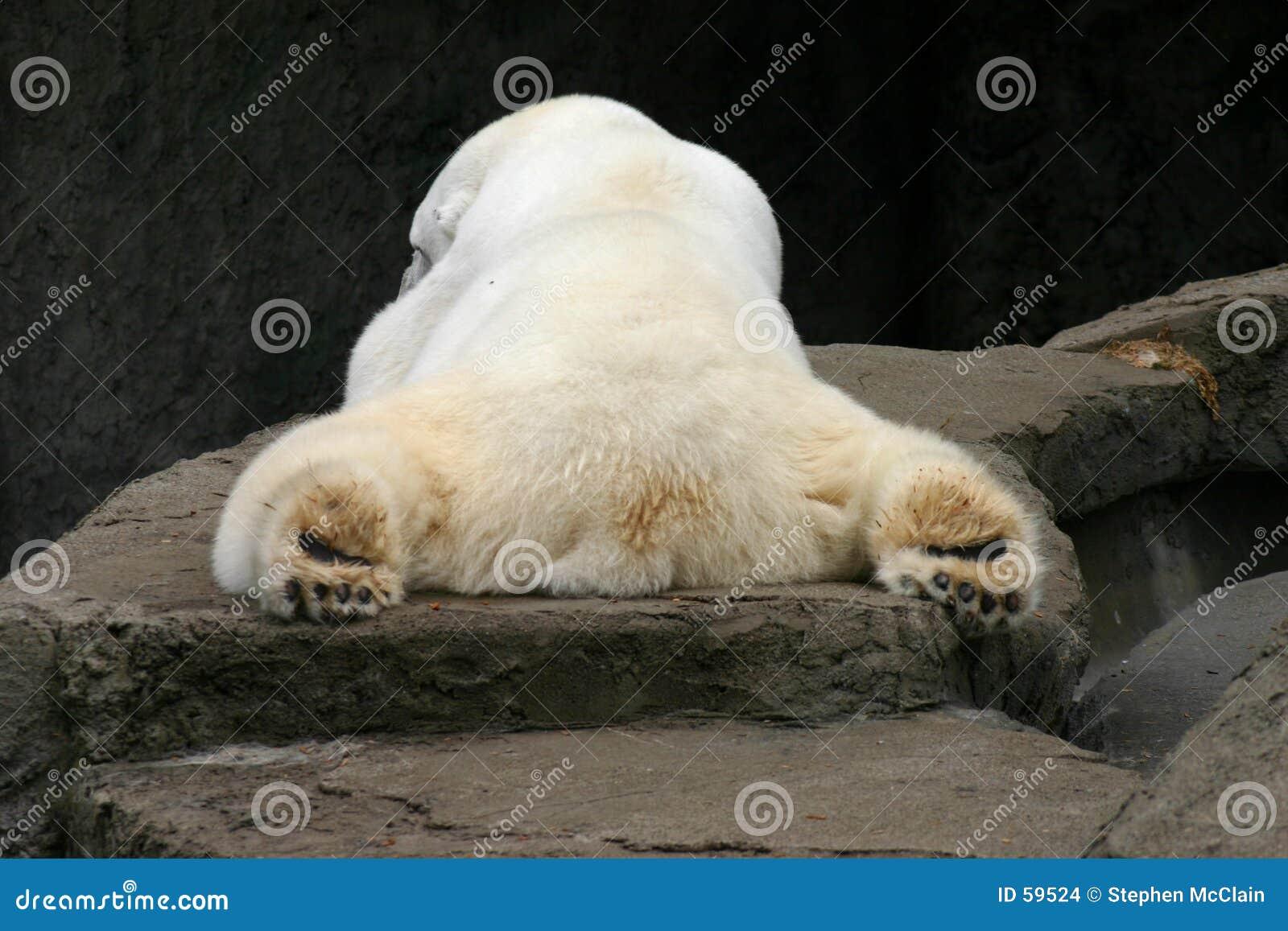 Oso polar el dormir