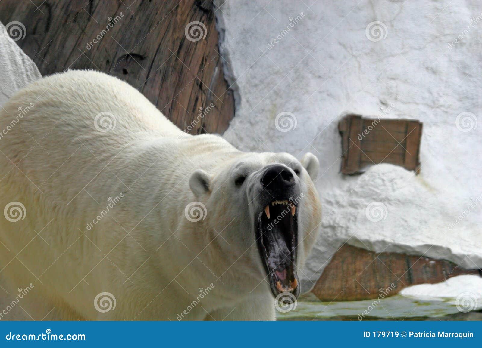Oso polar el gruñir