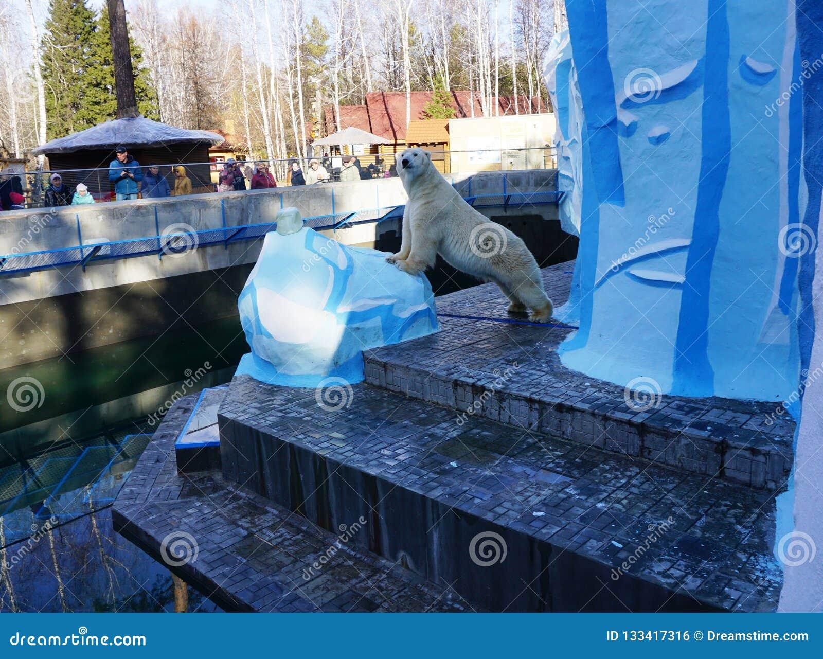 Oso polar Kai en el parque zoológico de Novosibirsk