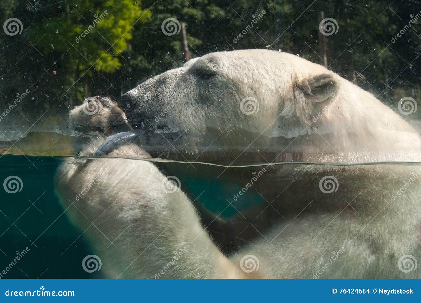 Oso Polar Que Come Un Pescado En El Agua Foto de archivo