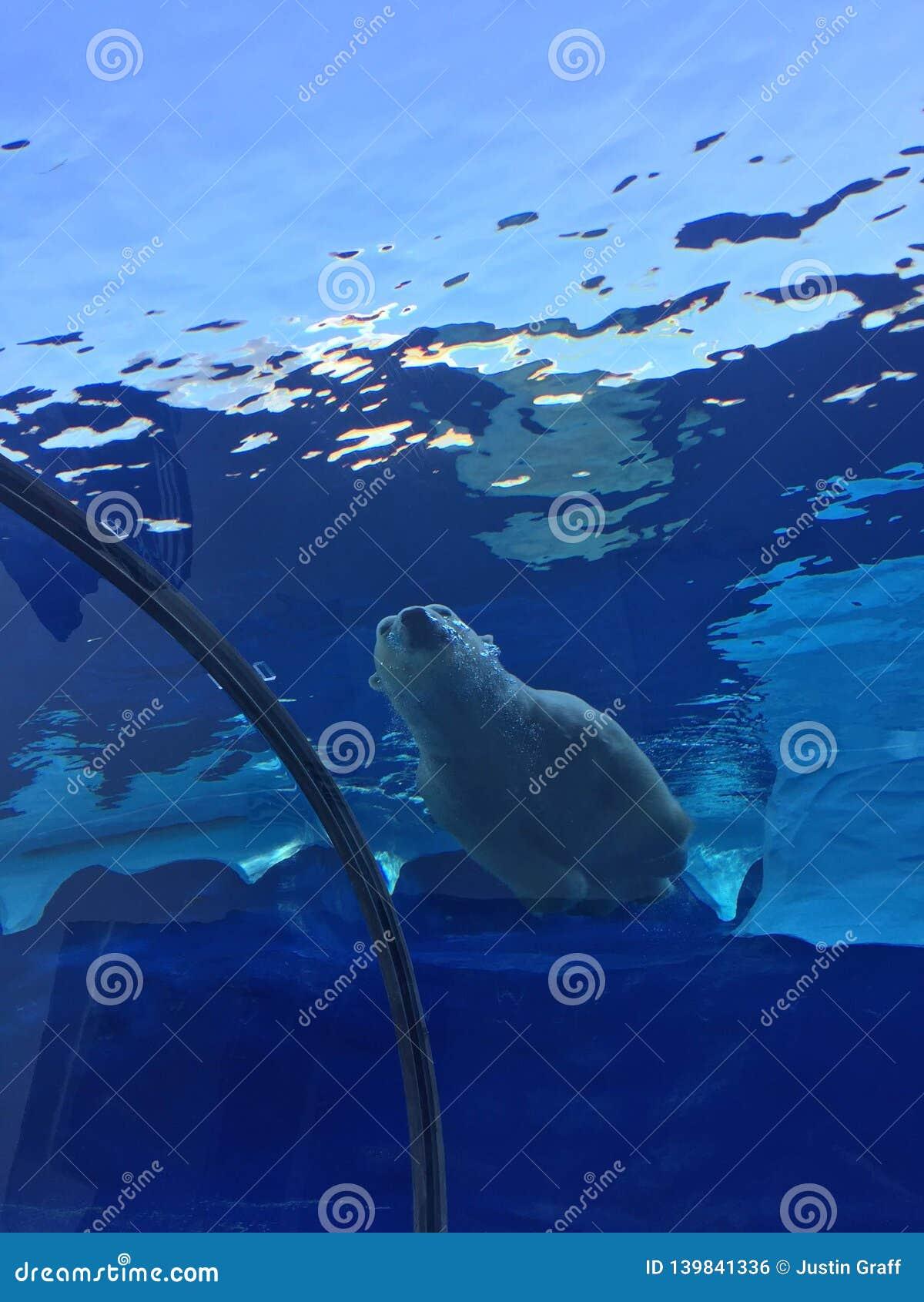 Oso polar que nada en una piscina grande como el océano con los icebergs