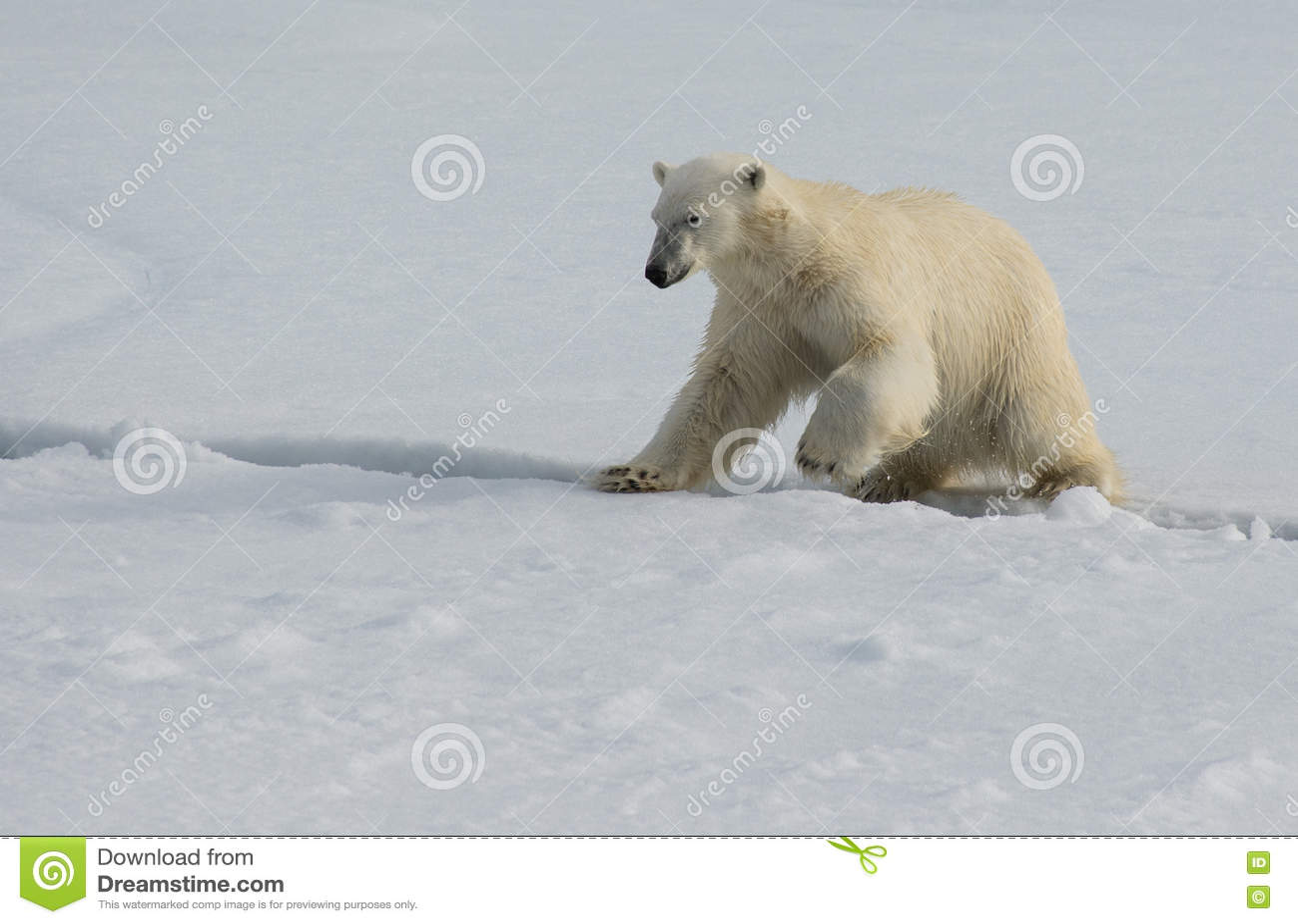 Oso polar que salta a través de una grieta en el hielo en el hielo de paquete al norte de Spitsbergen