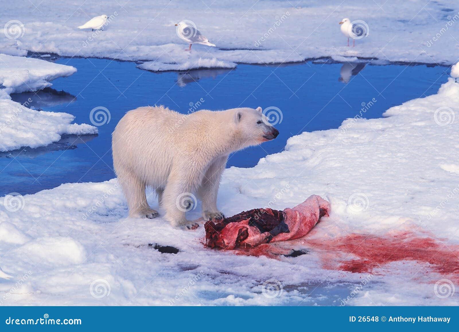 Oso polar sobre una matanza del sello