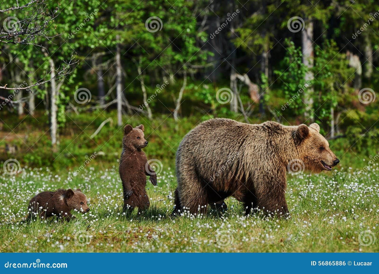 Oso y Cubs de la madre
