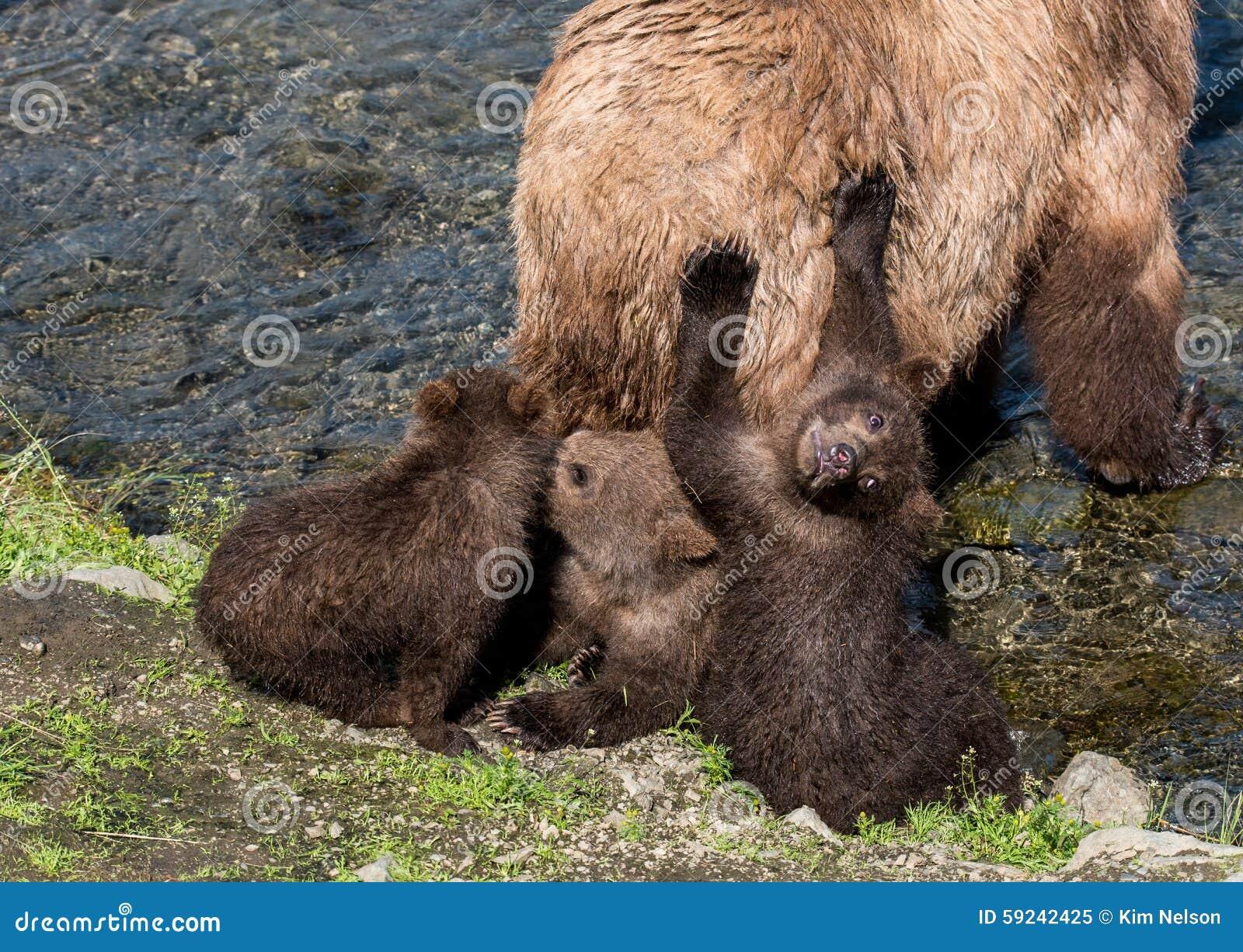 Download Osos Del Bebé Con La Mamá Por El Río Imagen de archivo - Imagen de cubo, katmai: 59242425