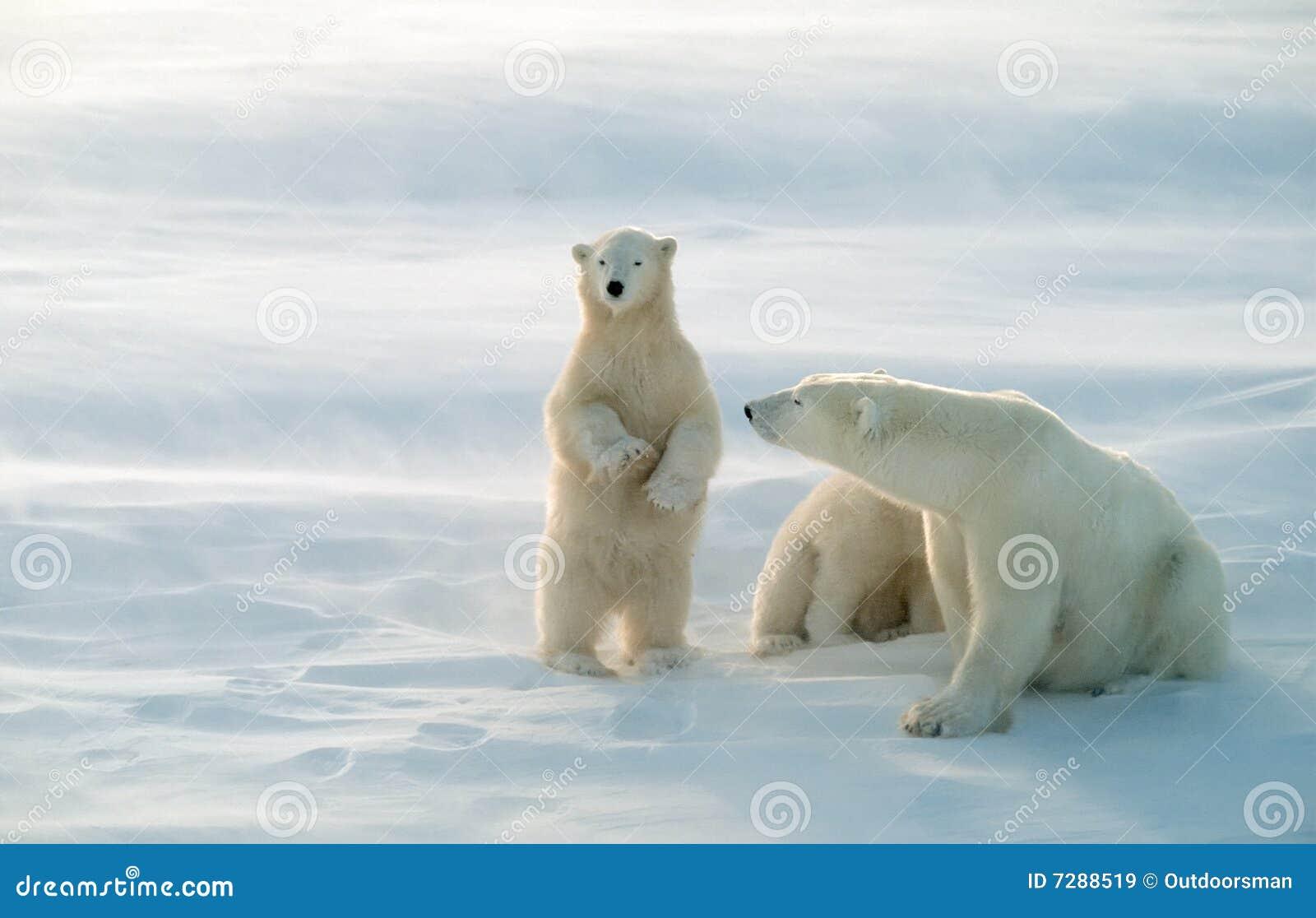 Osos polares en la tormenta de la nieve que sopla, foco suave