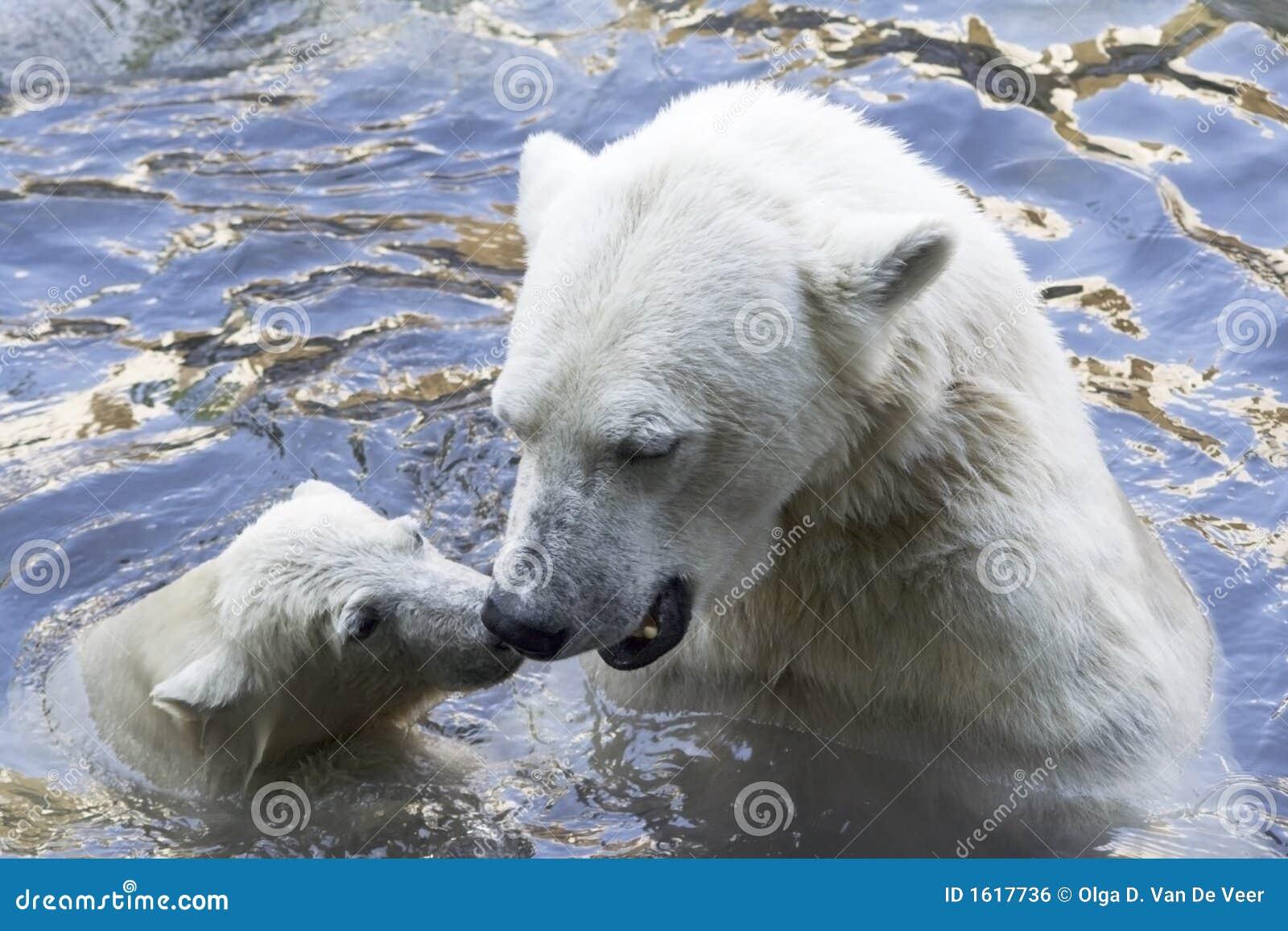 Osos polares que saludan