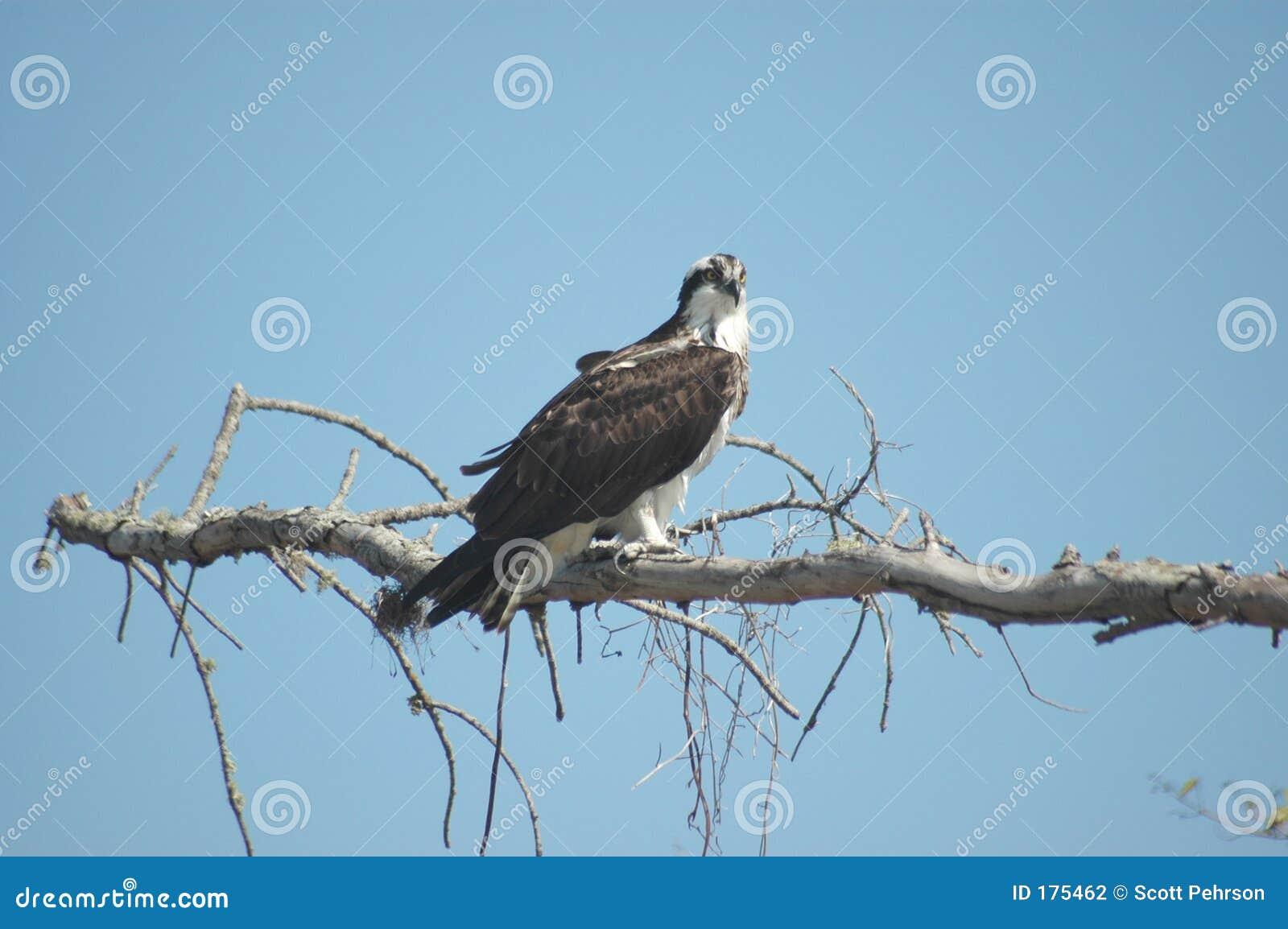 Osprey été perché
