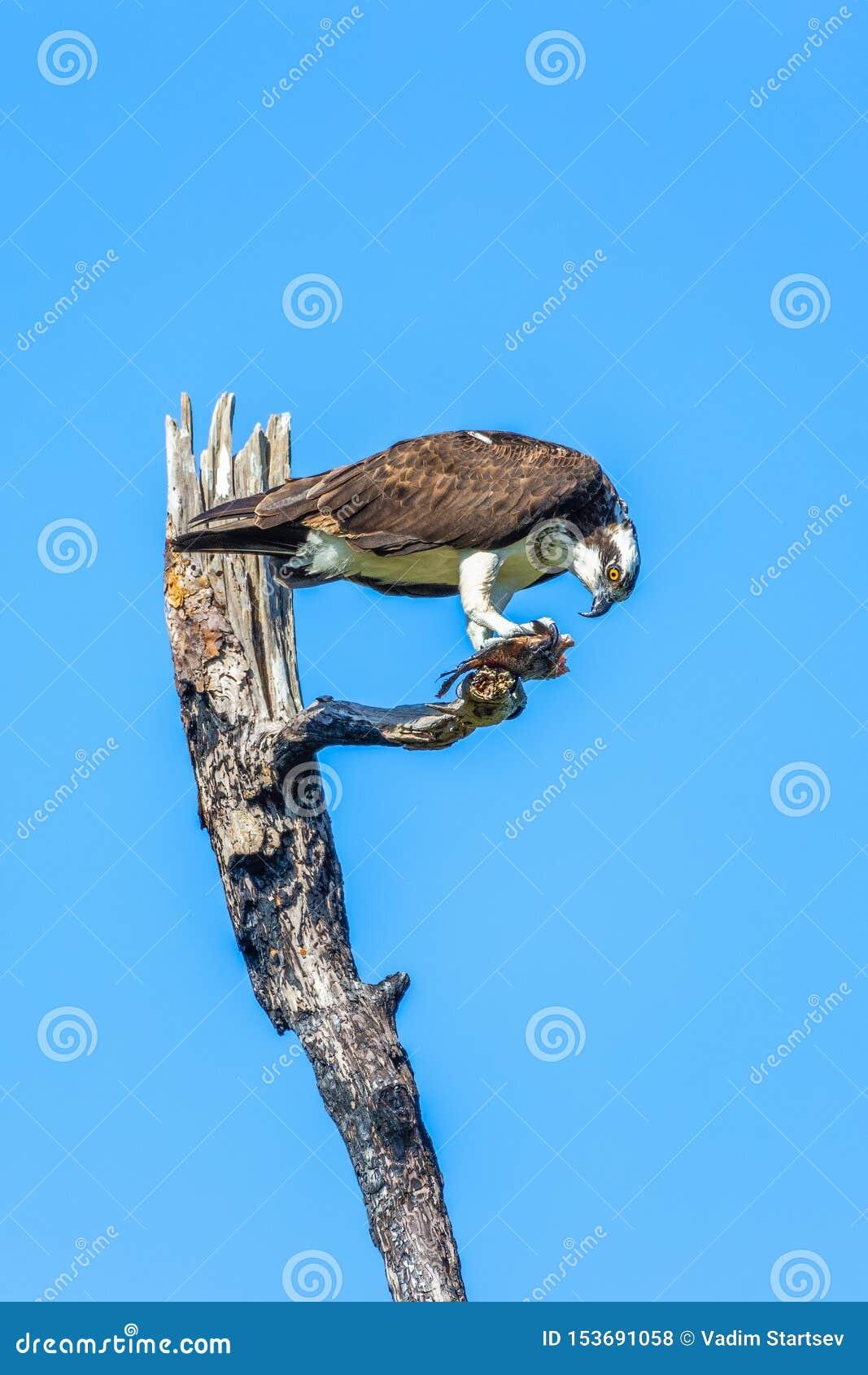 Osprey που τρώει τα ψάρια στο φλαμίγκο Campground Εθνικό πάρκο Everglades Φλώριδα o