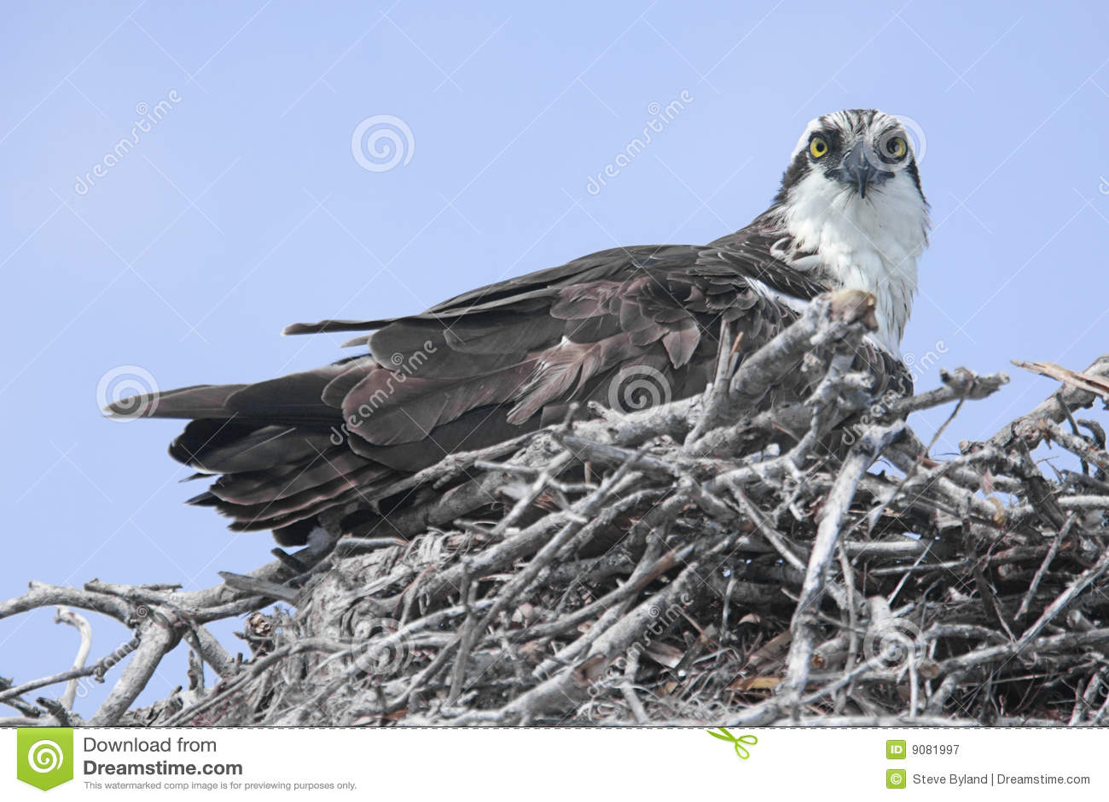 Osprey auf einem Nest