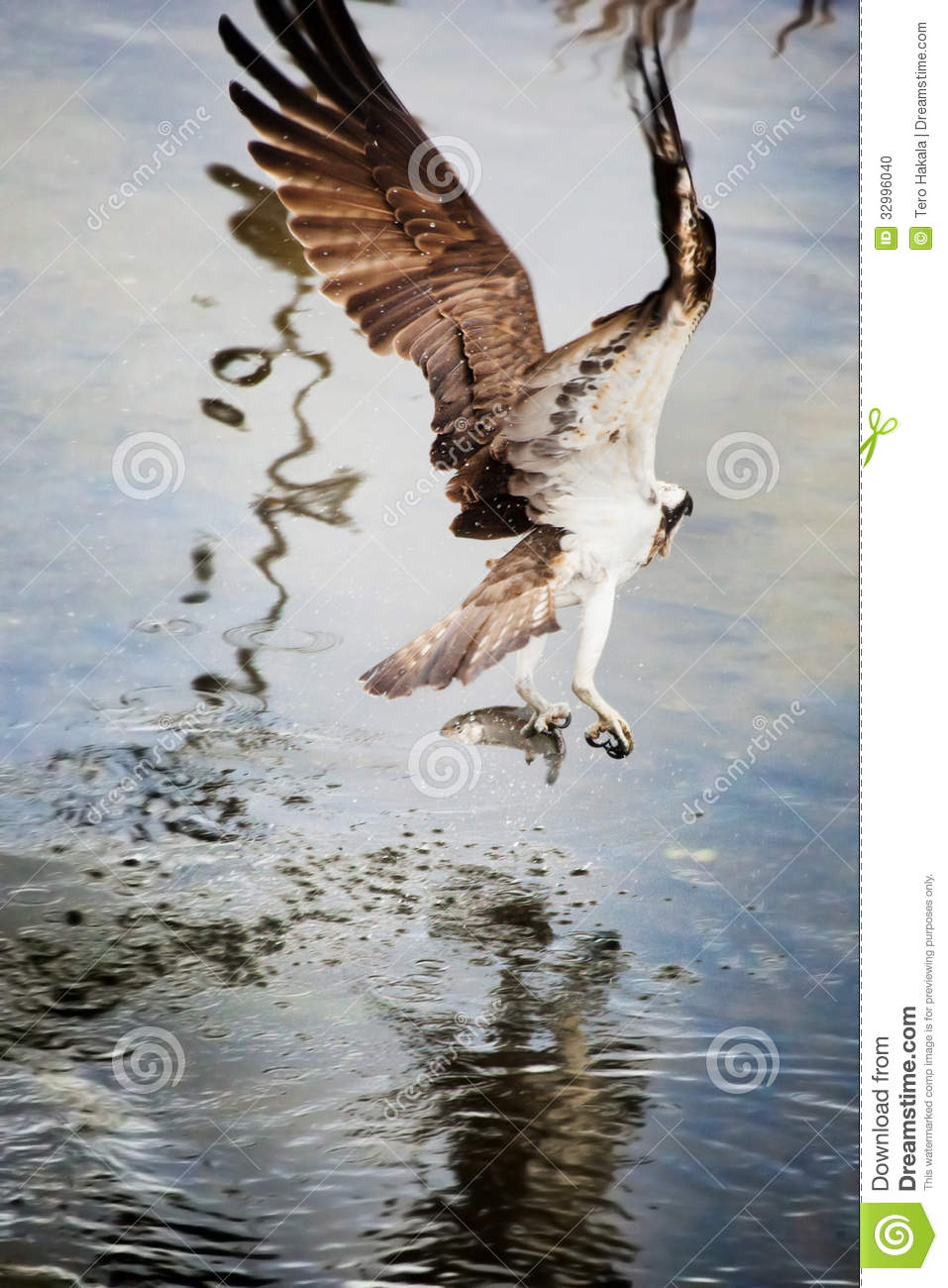 Osprey from behind after catching a fish stock photo for Osprey catching fish