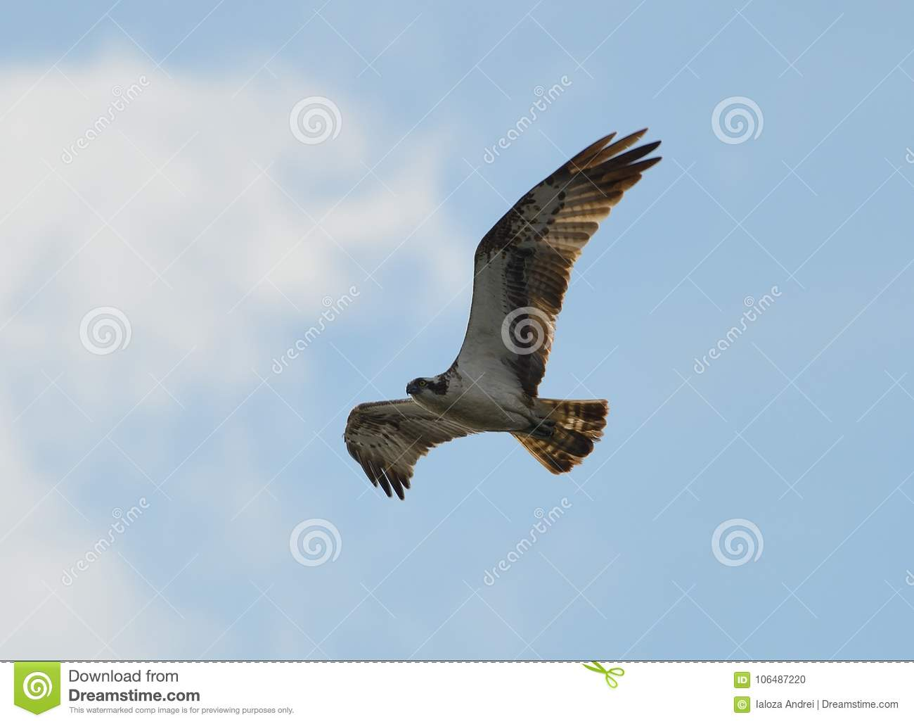 The feathered predator of the osprey in search of prey.