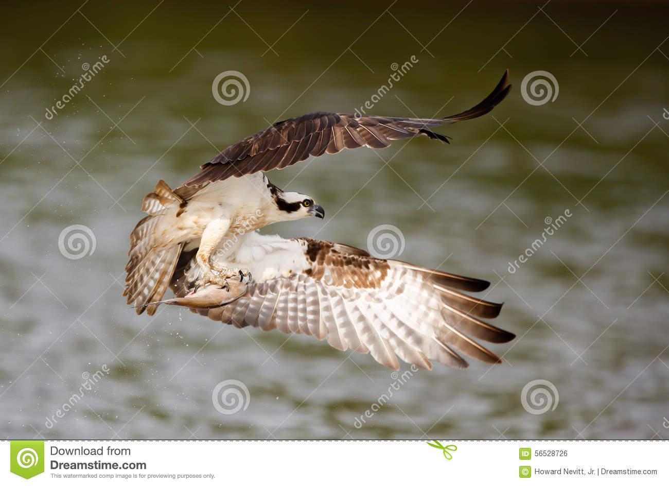 Osprey catching fish stock photo image 56528726 for Wings fish