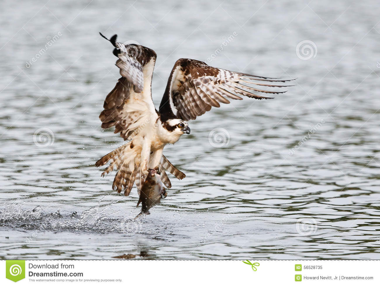 Osprey catching fish video gallery for Osprey catching fish