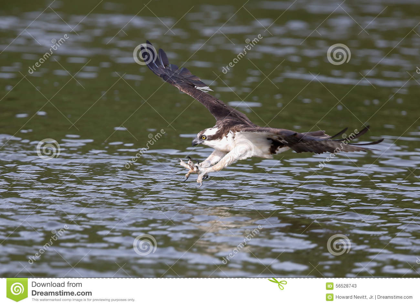 Osprey catching fish stock photo image 56528743 for Osprey catching fish