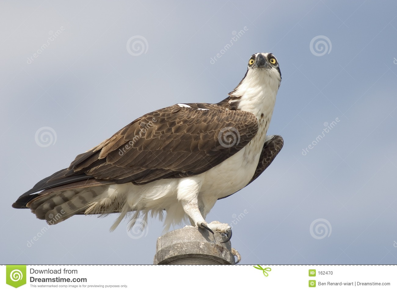 Osprey close up, Everglades National Park