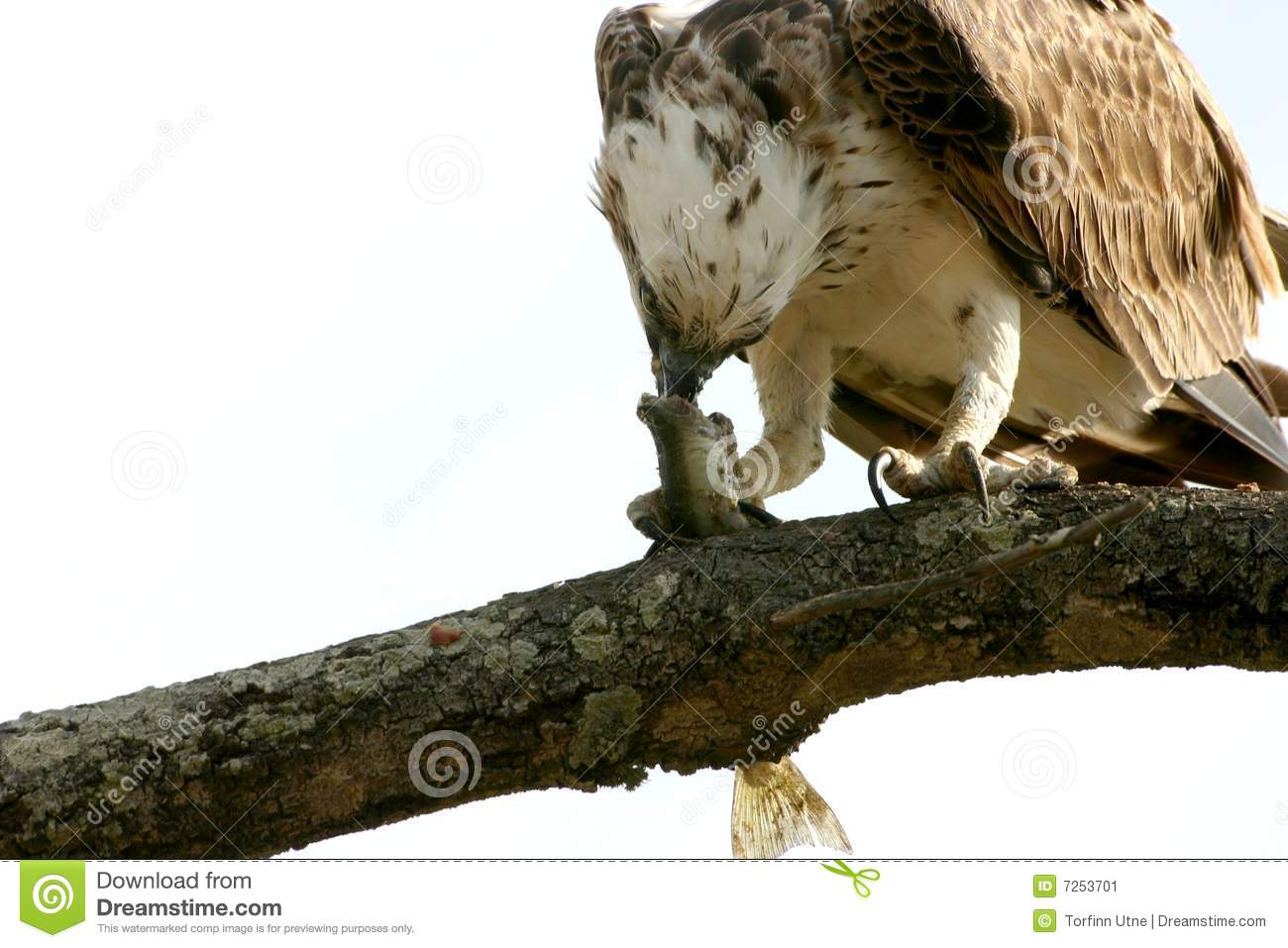 Osprey eating fish stock image image 7253701 for Dreaming of eating fish