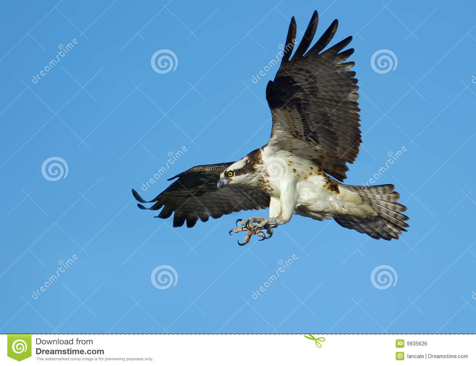 Osprey en vuelo