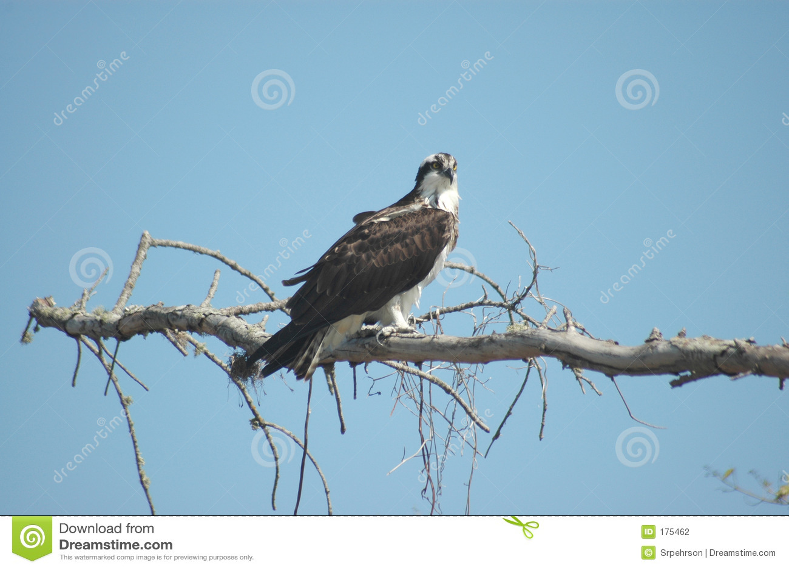 Osprey encaramado